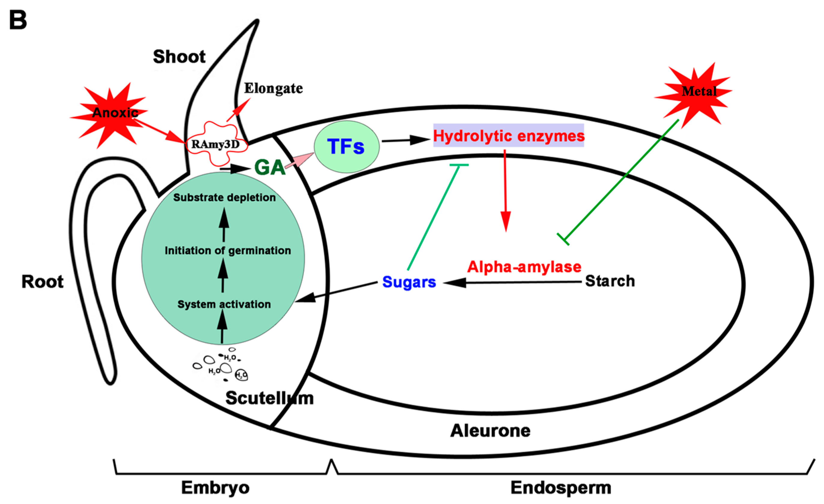 Ijms Free Full Text The Rice Alpha Amylase Conserved Regulator Seed Germination Diagram Inhibitor And Figures Review Reports