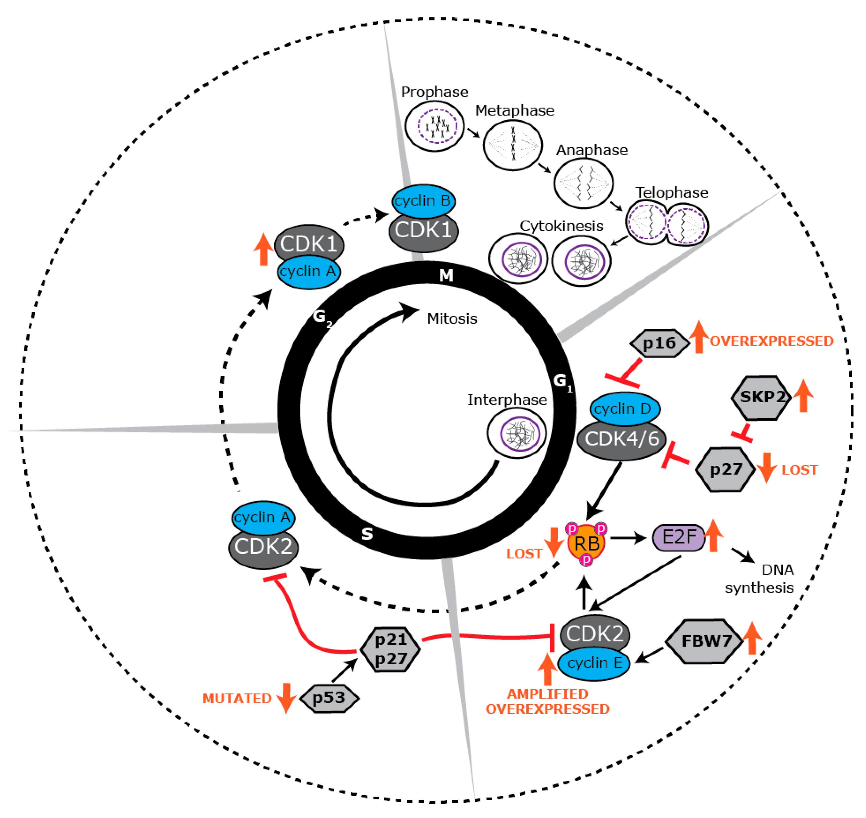 ijms free full text the proliferative and apoptotic landscape of Five Stages of Sleep Cycle no