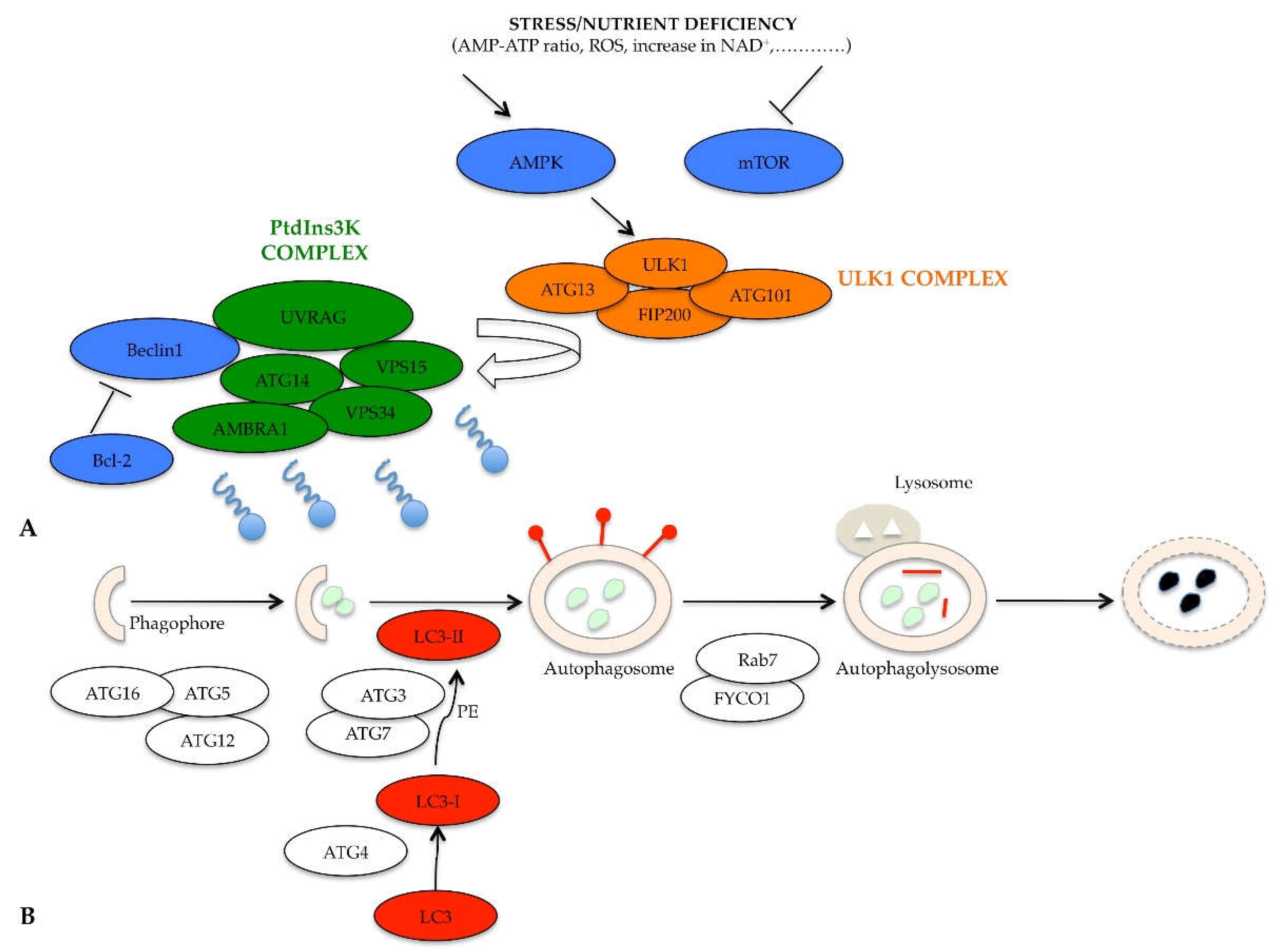 IJMS | Free Full-Text | Targeting Autophagy to Overcome