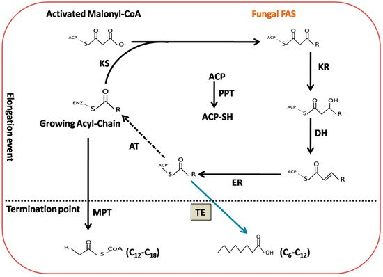 Engineering of Fatty Acid Synthases (FASs) to Boost the Production of Medium-Chain Fatty Acids (MCFAs) in Mucor circinelloides