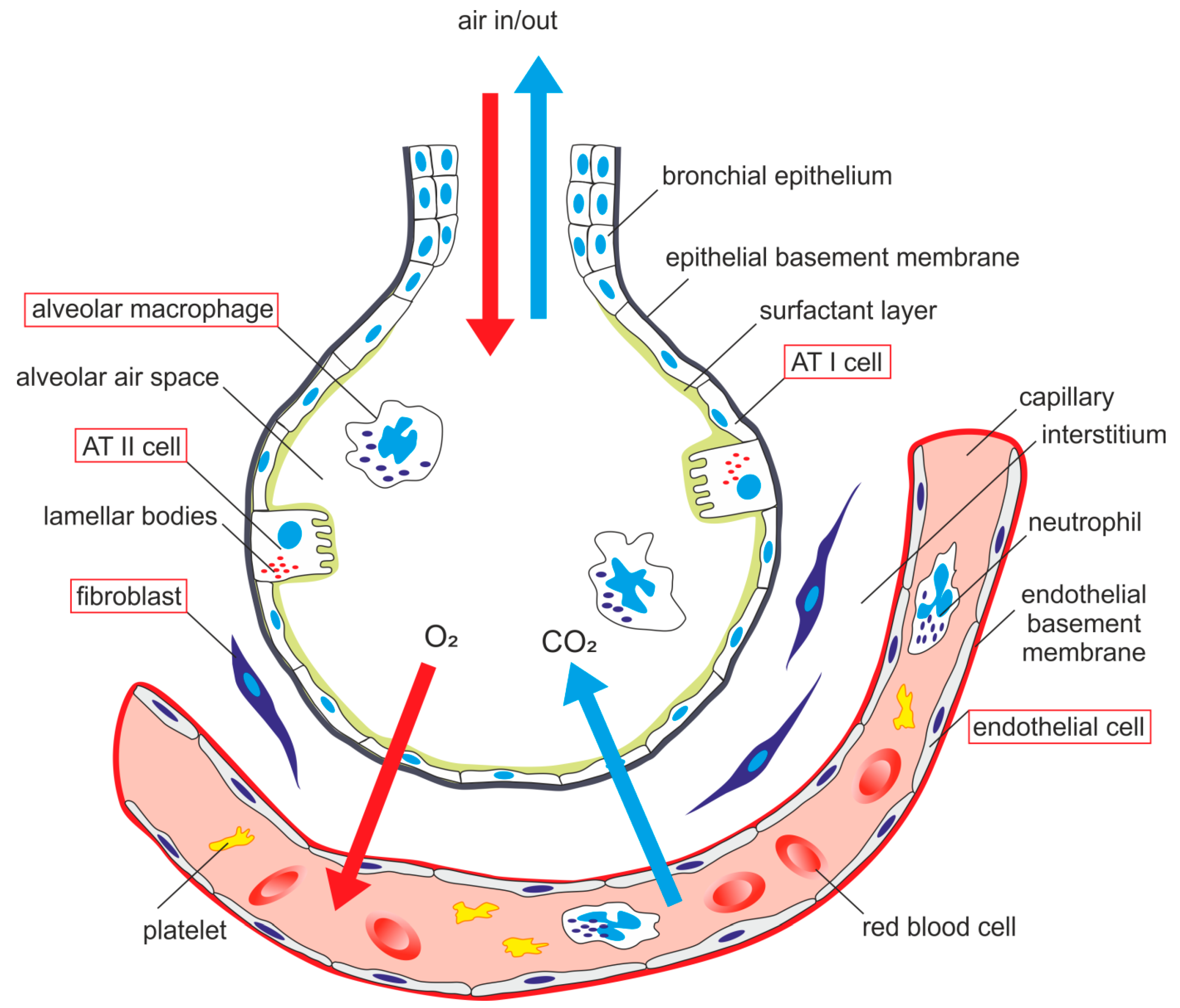 lung cell diagram all diagram schematics  lung cell diagram #10