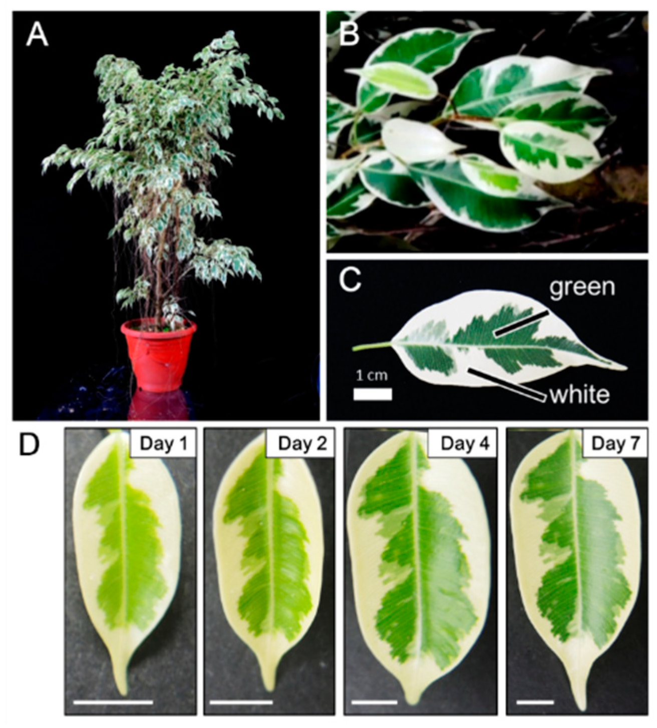 IJMS | Free Full-Text | Transcriptome Profile of the ... Variegated Houseplants Med Leaf Identification on