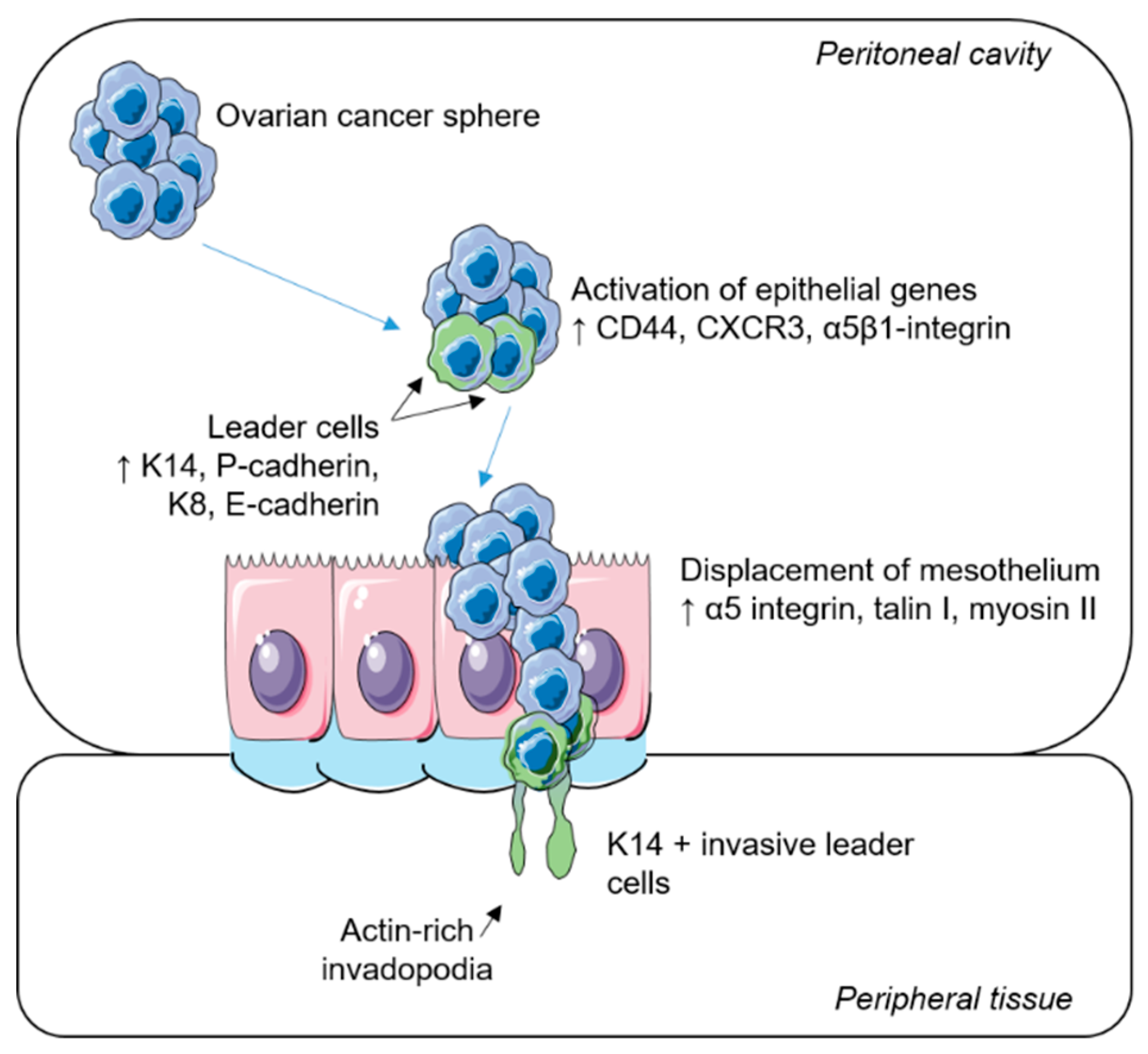 Ijms Free Full Text Therapeutic Targeting Of Collective Invasion In Ovarian Cancer Html