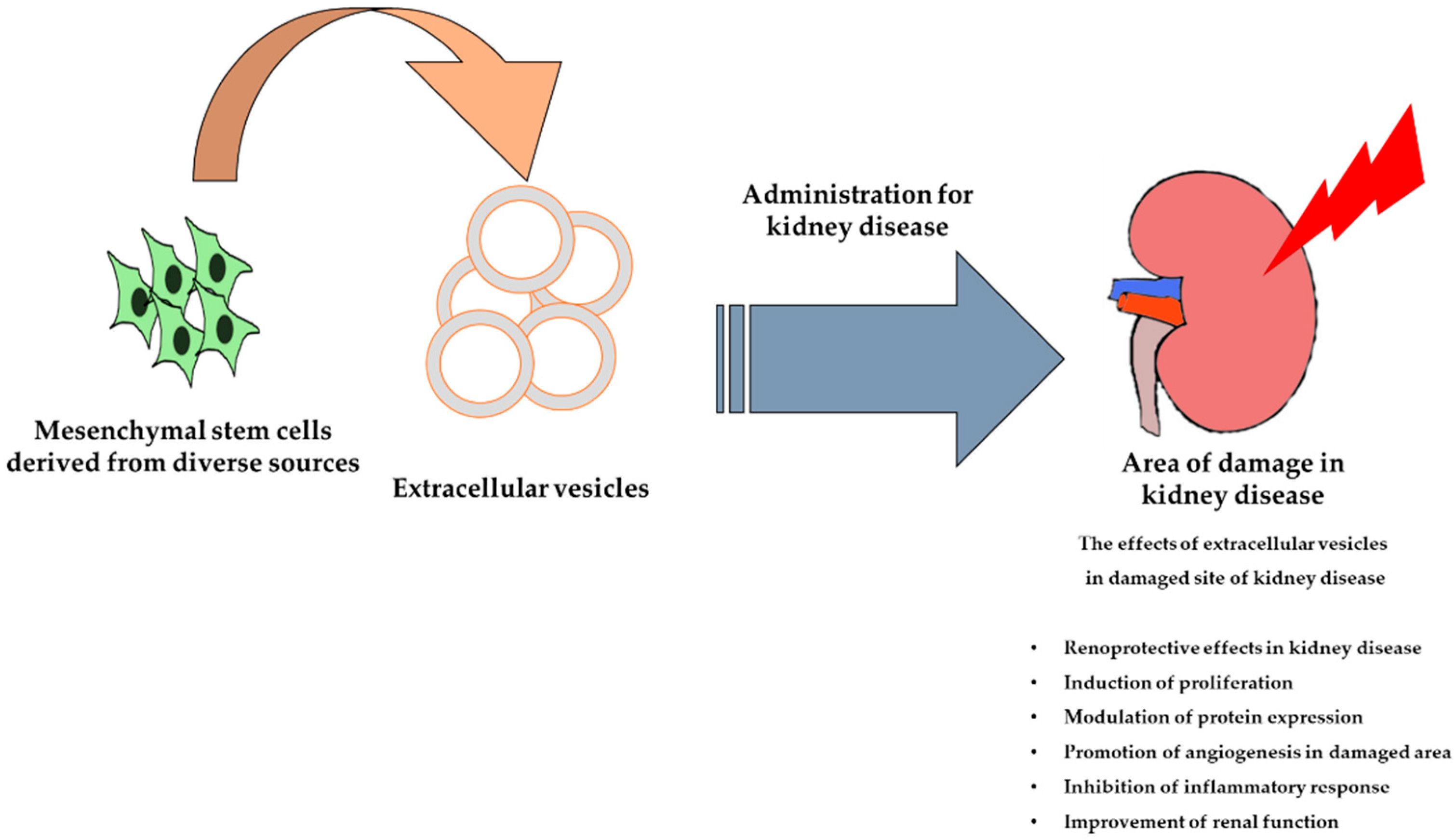 Ijms Free Full Text Potential And Therapeutic Efficacy Of Cell Based Therapy Using Mesenchymal Stem Cells For Acute Chronic Kidney Disease Html