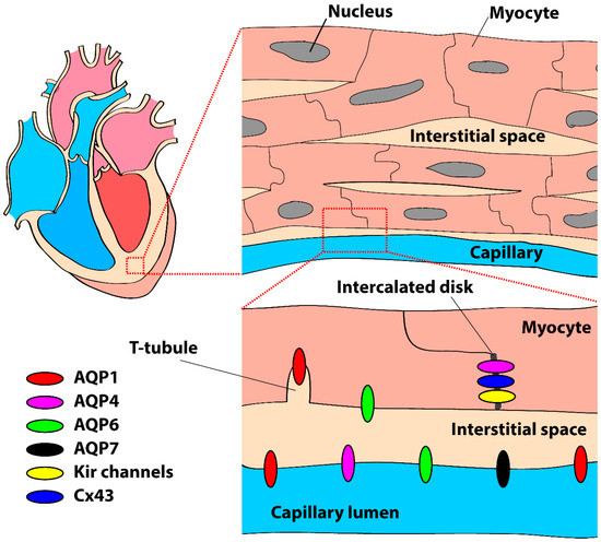 IJMS | Special Issue : Aquaporins: Water Channels Essential