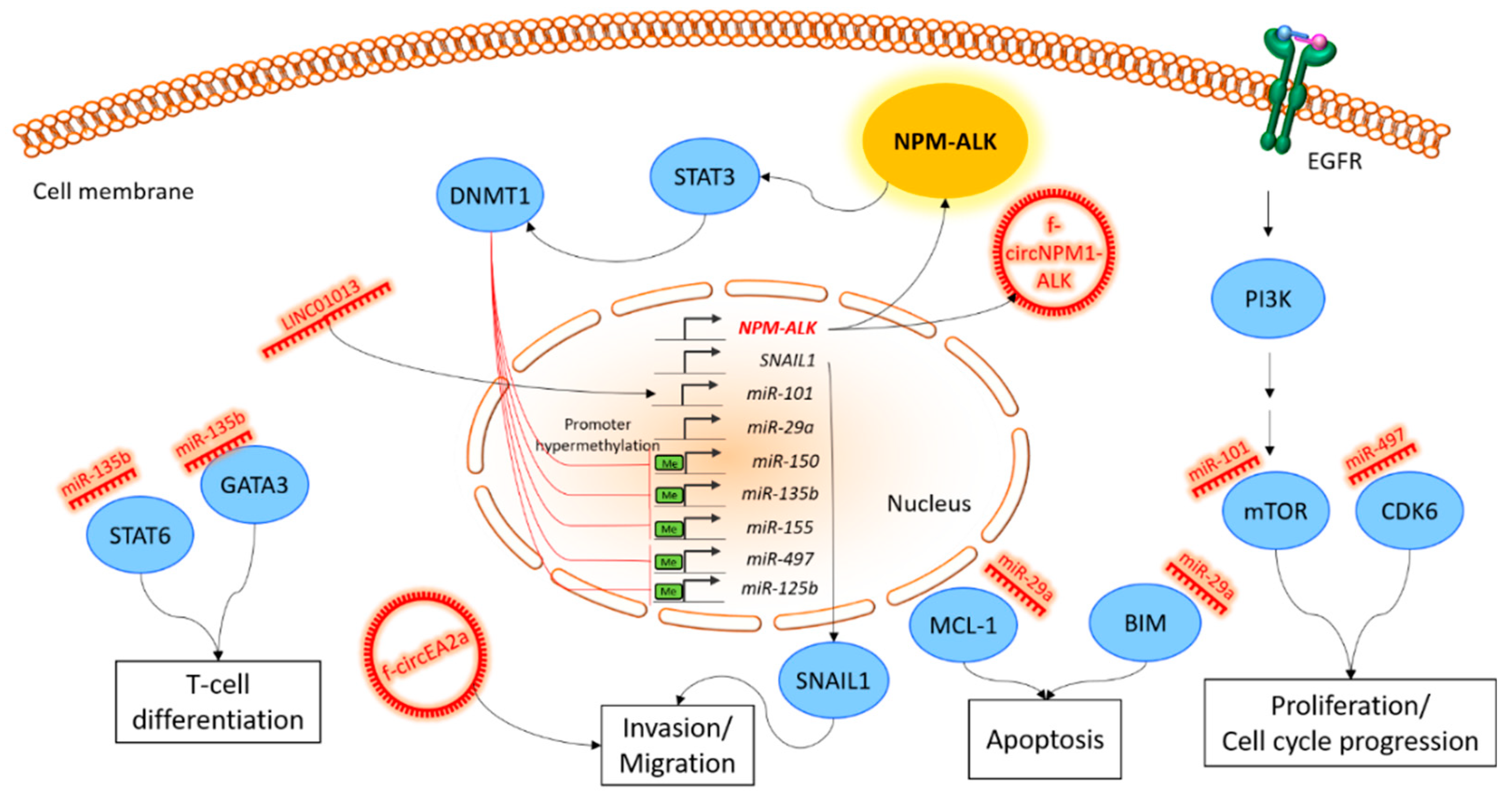 IJMS   Free Full-Text   Non-Coding RNA Networks in ALK-Positive