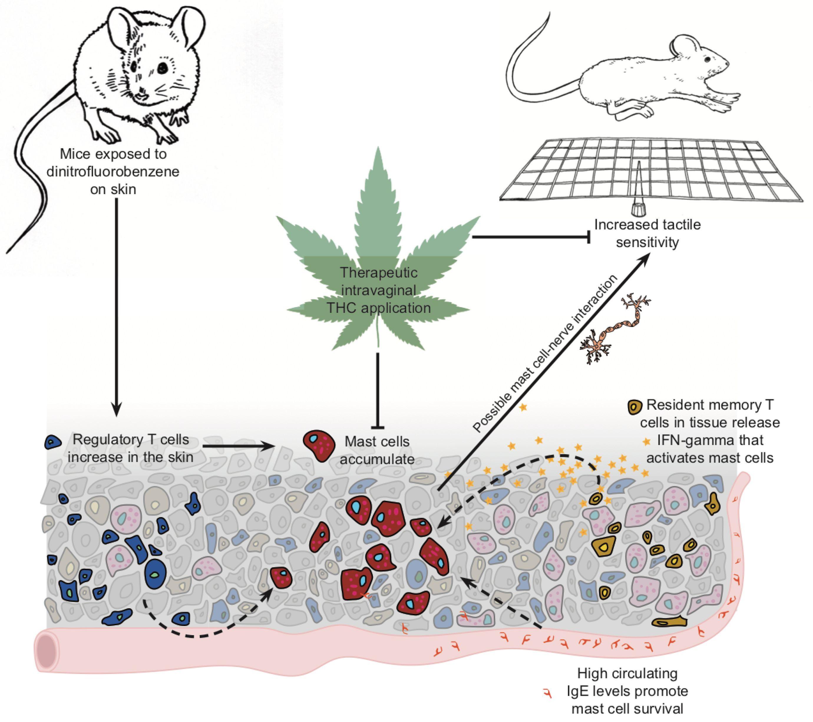 IJMS | Free Full-Text | Tetrahydrocannabinol Reduces Hapten