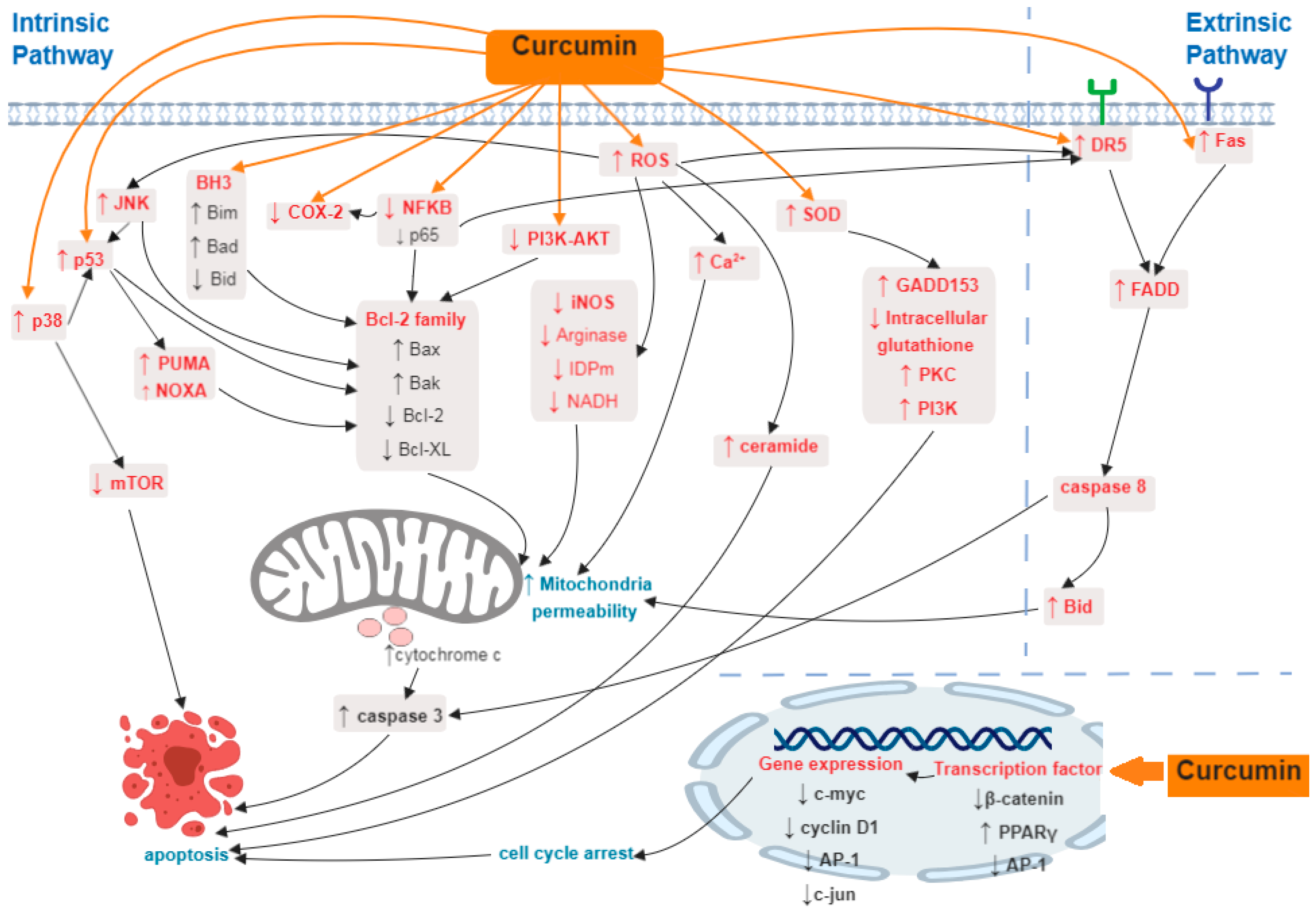 Ijms Free Full Text Mechanism Of Apoptosis Induced By Curcumin In Colorectal Cancer Html