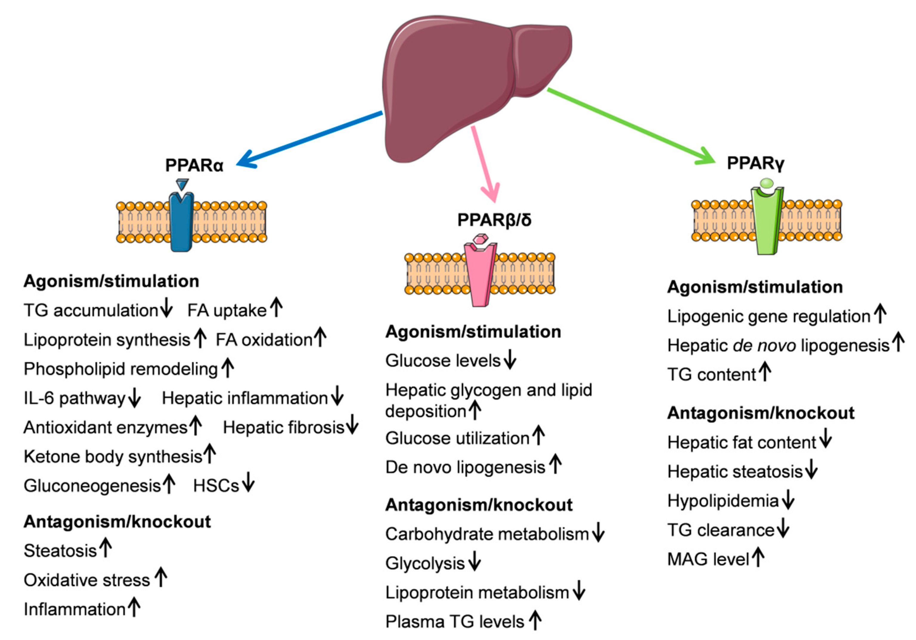 ijms free full text endocannabinoid system in hepatic glucose Digestive System Diagram