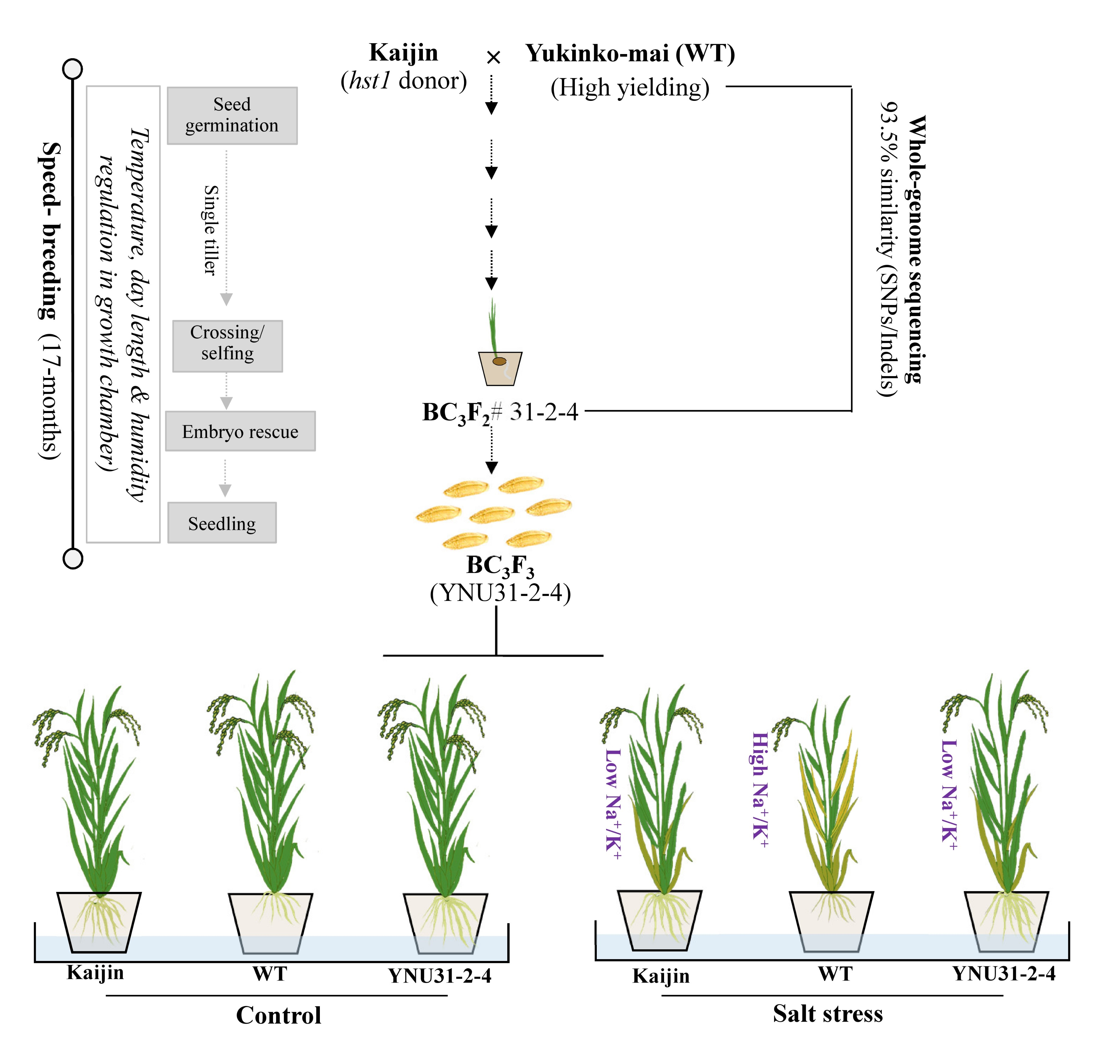 salt tolerance in rice focus on mechanisms and approaches