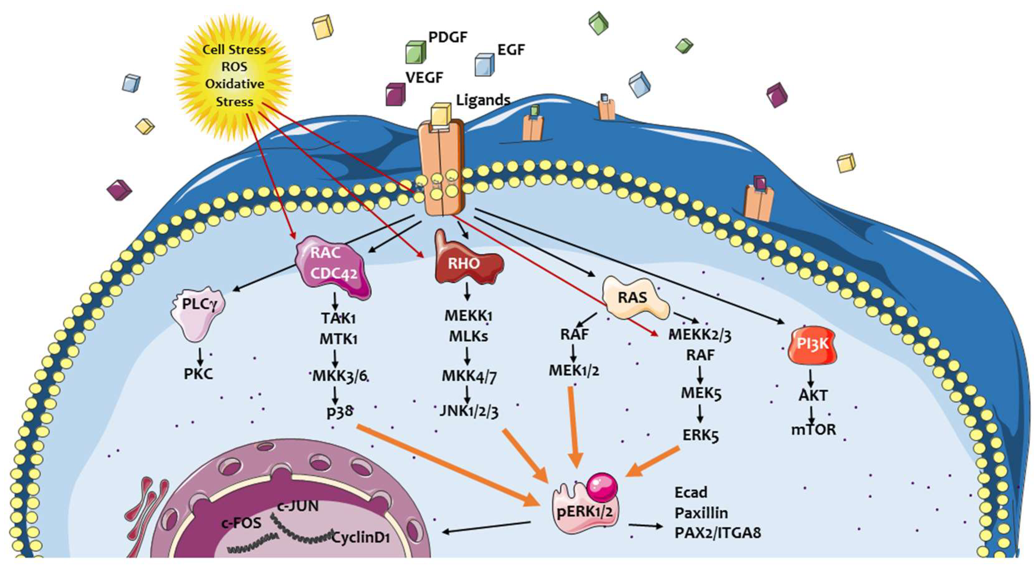 IJMS   Free Full-Text   ERK Pathway in Activated