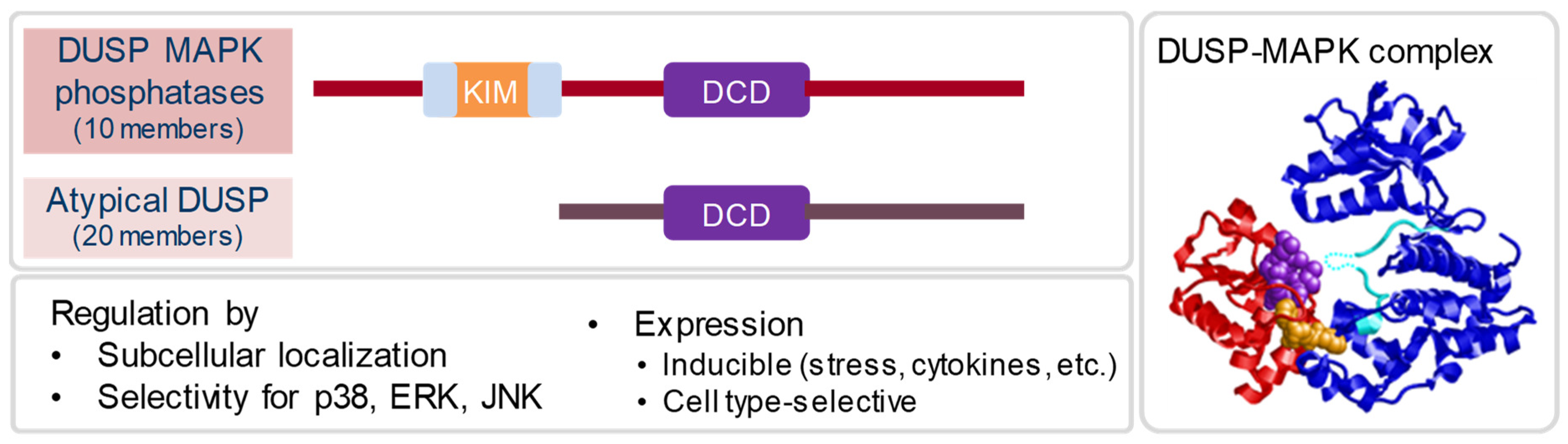 IJMS | Free Full-Text | Dual-Specificity Phosphatases in Immunity