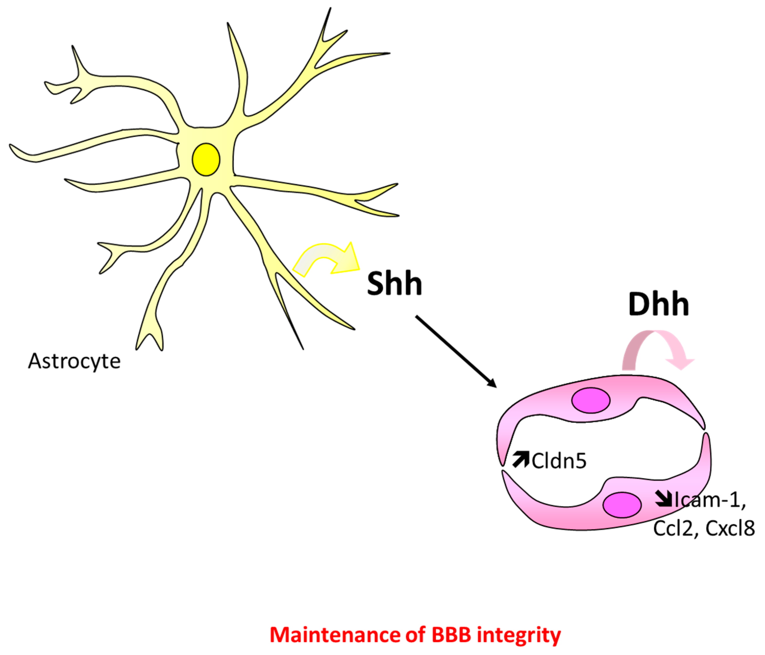 IJMS | Free Full-Text | Role of Hedgehog Signaling in