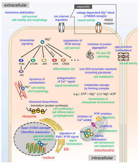 Ijms Free Full Text Magnesium Is A Key Player In Neuronal Maturation And Neuropathology Html