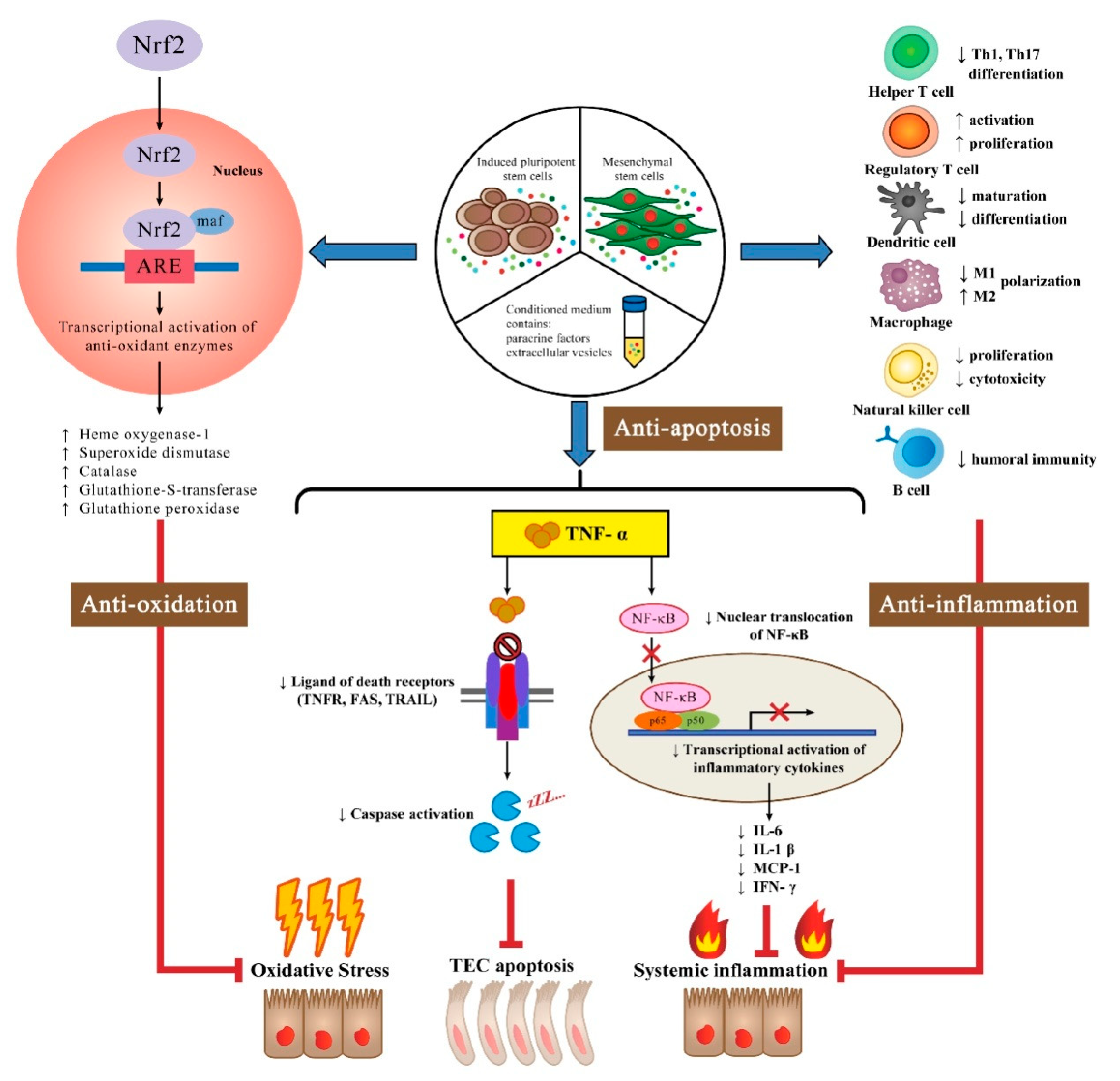 Ijms Free Full Text The Anti Inflammatory Anti Oxidative And Anti Apoptotic Benefits Of Stem Cells In Acute Ischemic Kidney Injury Html
