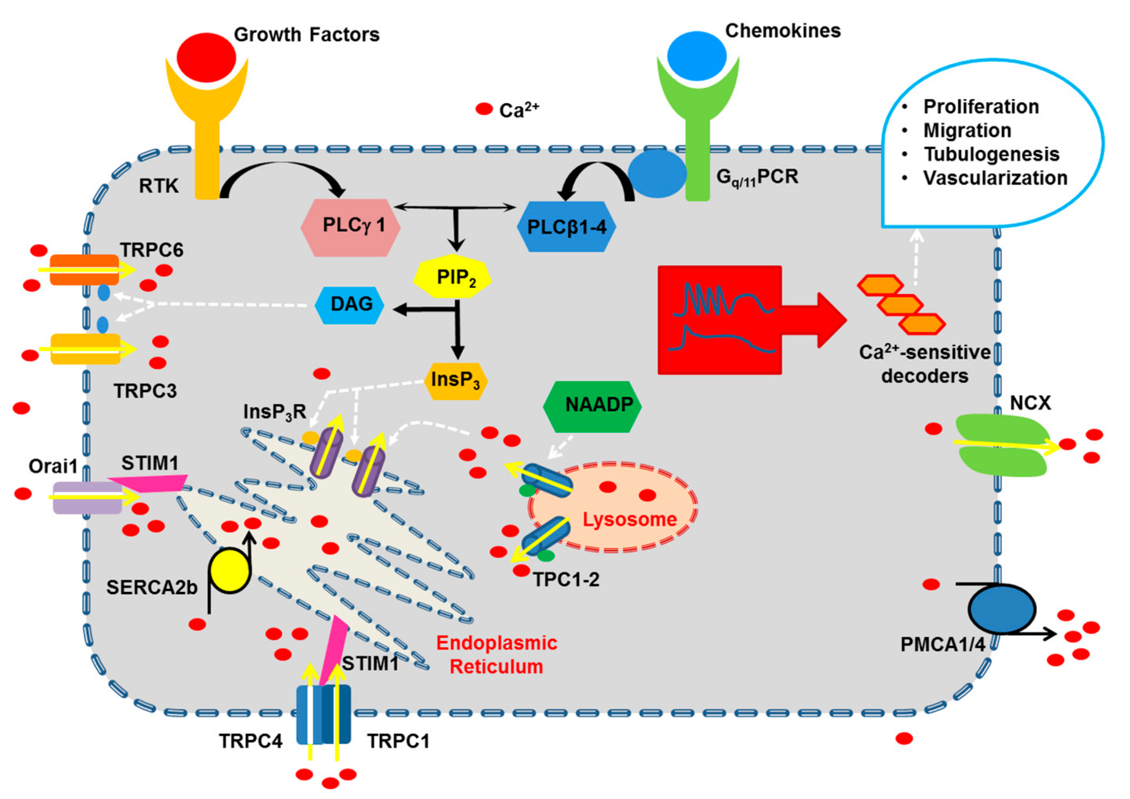 Vascular endothelium - physiology, pathology, and therapeutic opportunities