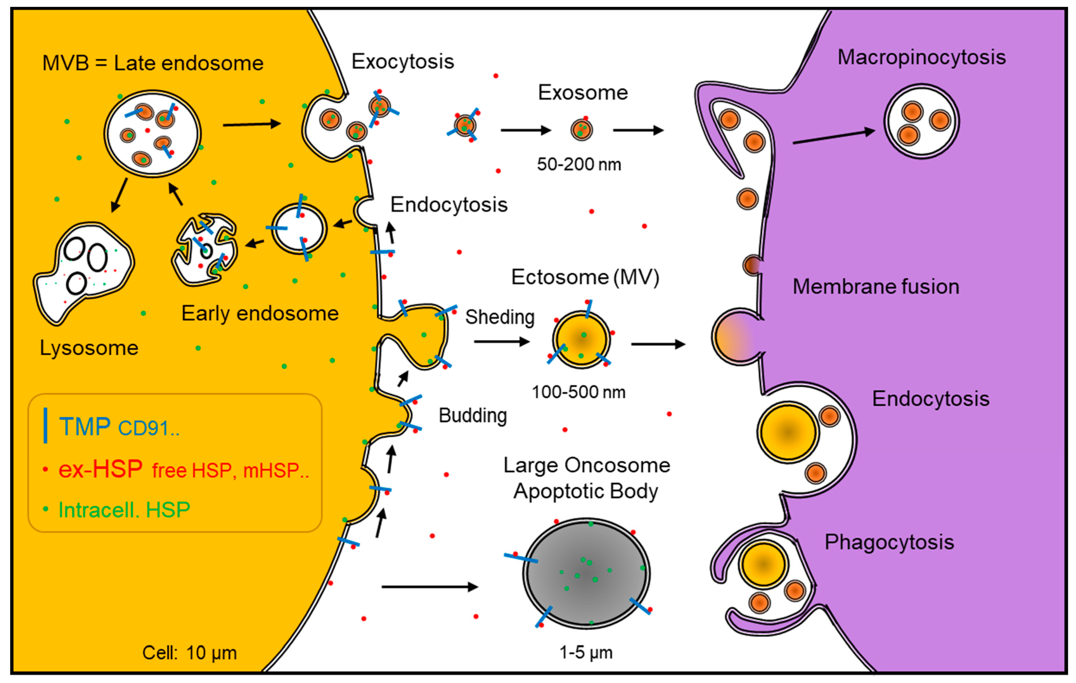 IJMS   Free Full Text   Roles of Extracellular HSPs as Biomarkers ...