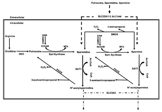 Ijms Free Full Text Polyamine Catabolism In Acute Kidney