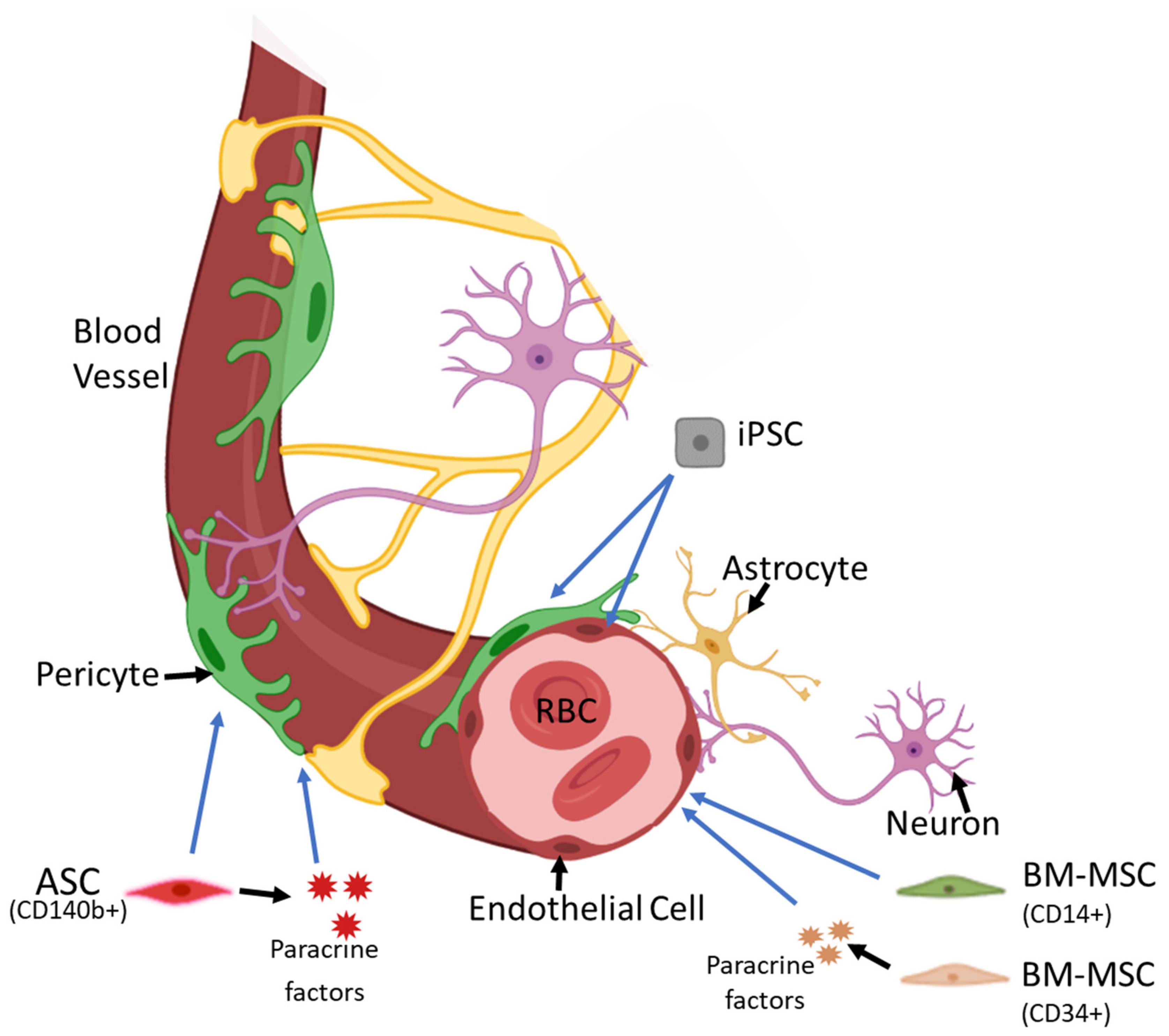 幹細胞が血管を再生していく様子