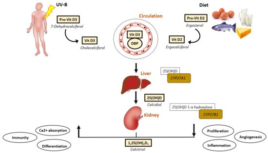 IJMS | Free Full-Text | Vitamin D as A Protector of Arterial Health: Potential Role in Peripheral Arterial Disease Formation | HTML