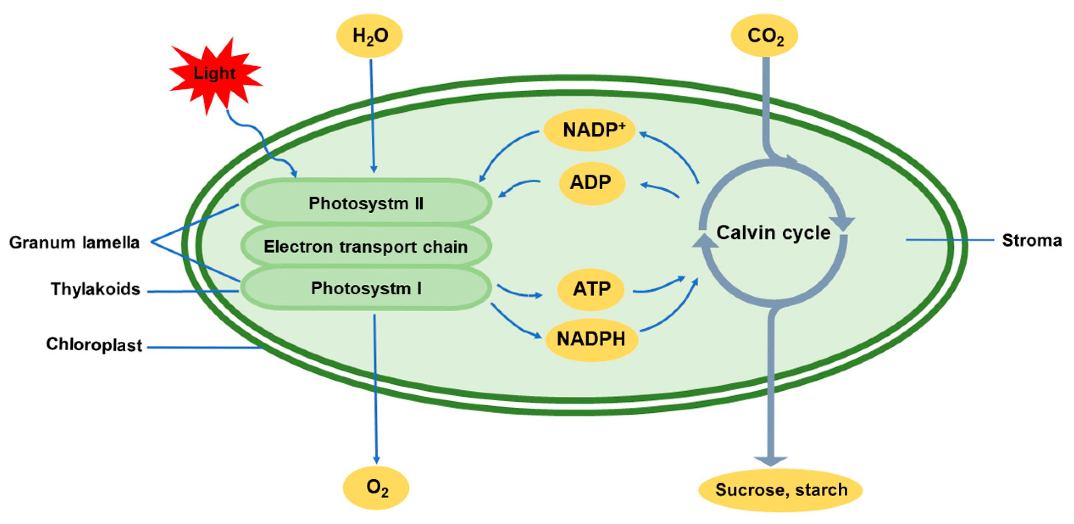 Ijms Free Full Text Chloroplasts Beyond Energy Capture