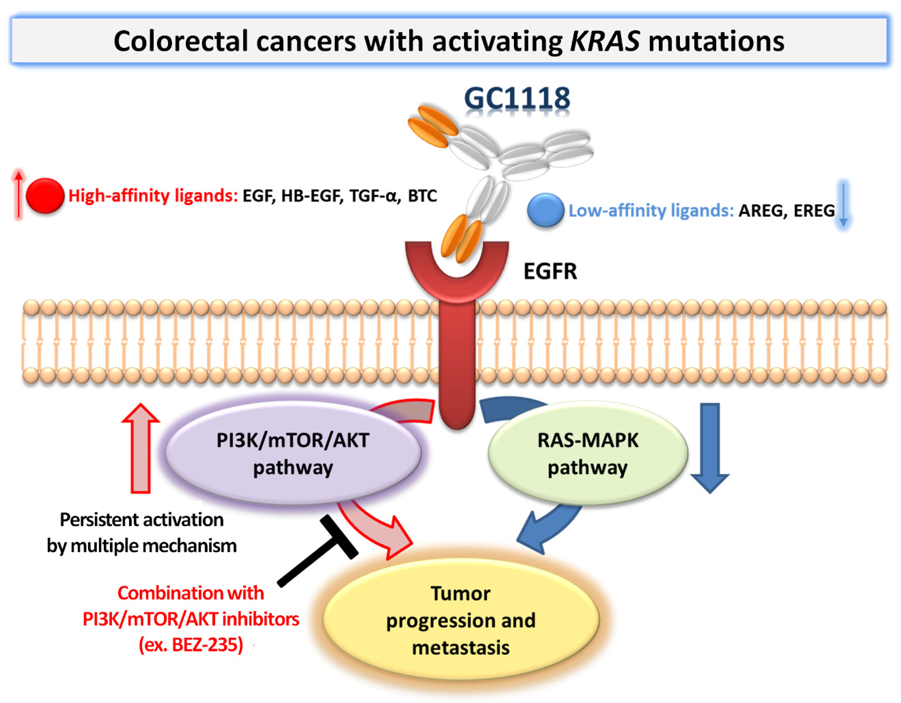 Ijms Free Full Text Promising Therapeutic Efficacy Of Gc1118 An Anti Egfr Antibody Against Kras Mutation Driven Colorectal Cancer Patient Derived Xenografts Html
