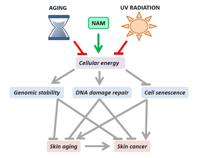 Ijms Free Full Text Role Of Nicotinamide In Genomic Stability And Skin Cancer Chemoprevention