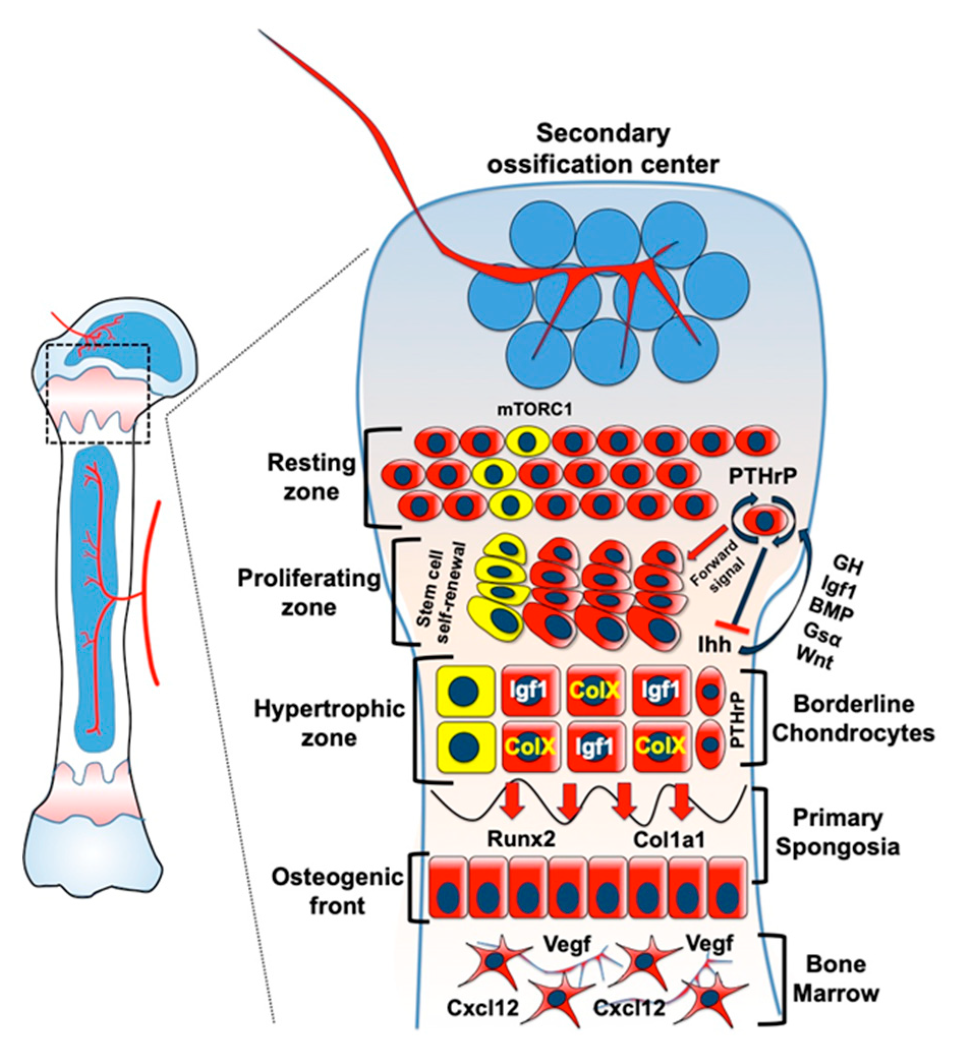 Ijms Free Full Text Growth Plate Chondrocytes Skeletal Development Growth And Beyond Html An example of a synchondrosis joint is the first sternocostal joint (where the first rib meets the manubrium). growth plate chondrocytes
