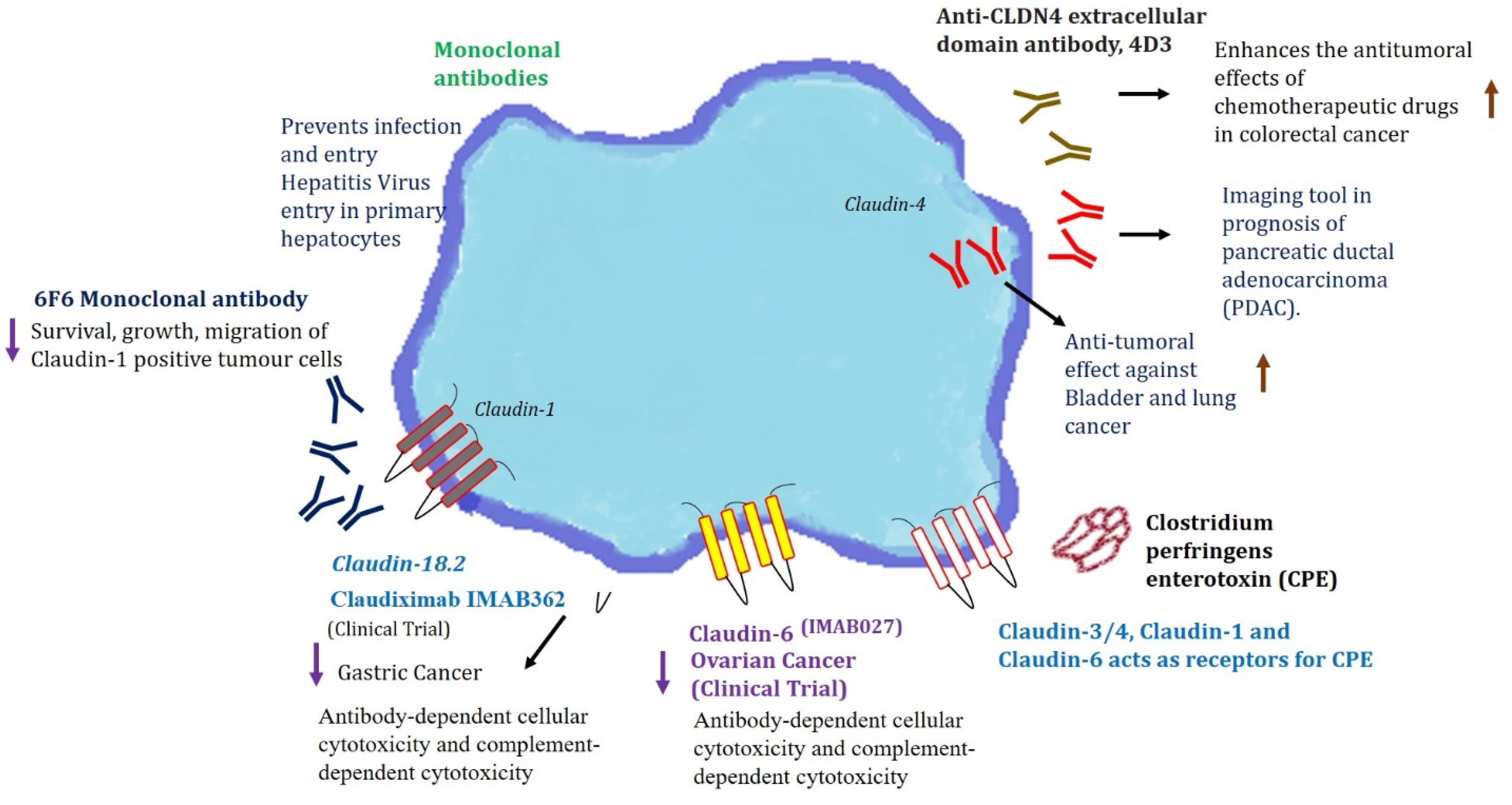 Ijms Free Full Text Role Of Claudin Proteins In Regulating Cancer Stem Cells And Chemoresistance Potential Implication In Disease Prognosis And Therapy Html