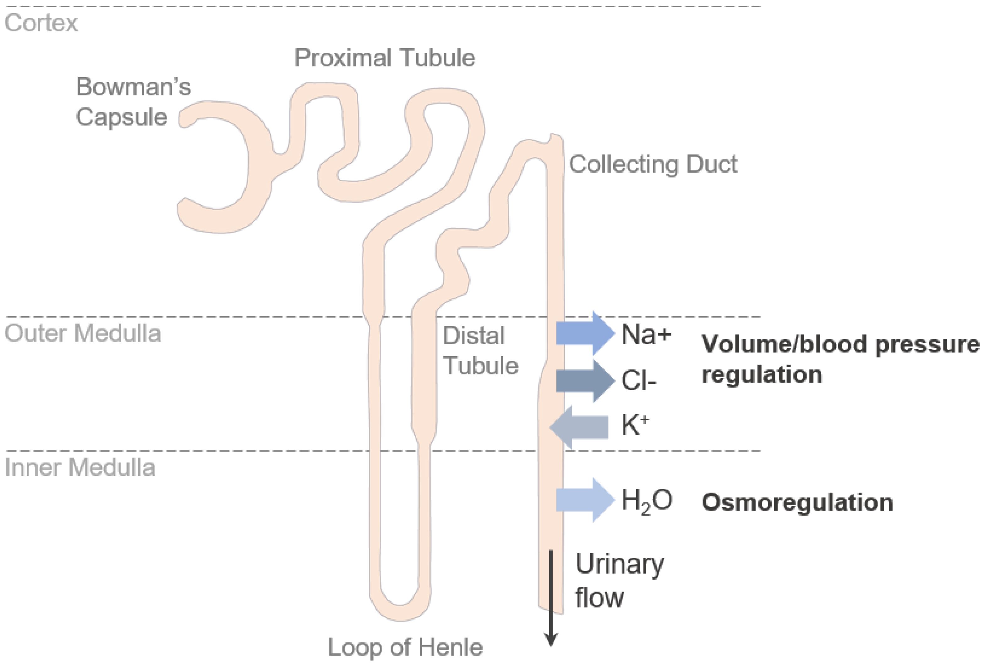IJMS | Free Full-Text | Claudins in the Renal Collecting Duct