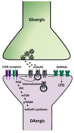 IJMS | Free Full-Text | On The Modulatory Roles Of Neuregulins/ErbB  Signaling On Synaptic Plasticity | HTML