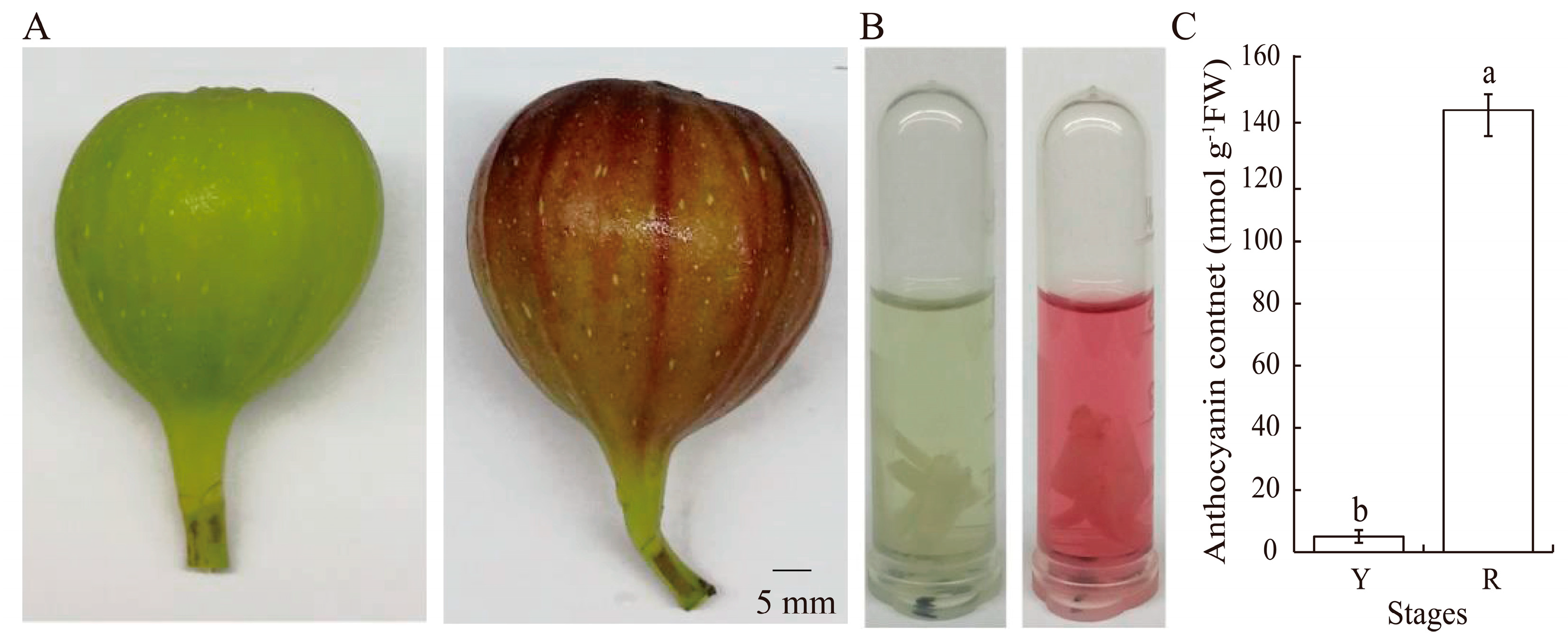Ijms Free Full Text Transcriptomic Analysis Of Ficus Carica Peels With A Focus On The Key Genes For Anthocyanin Biosynthesis Html
