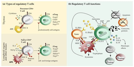 Ijms Free Full Text Beneficial And Detrimental Effects Of Regulatory T Cells In Neurotropic Virus Infections Html
