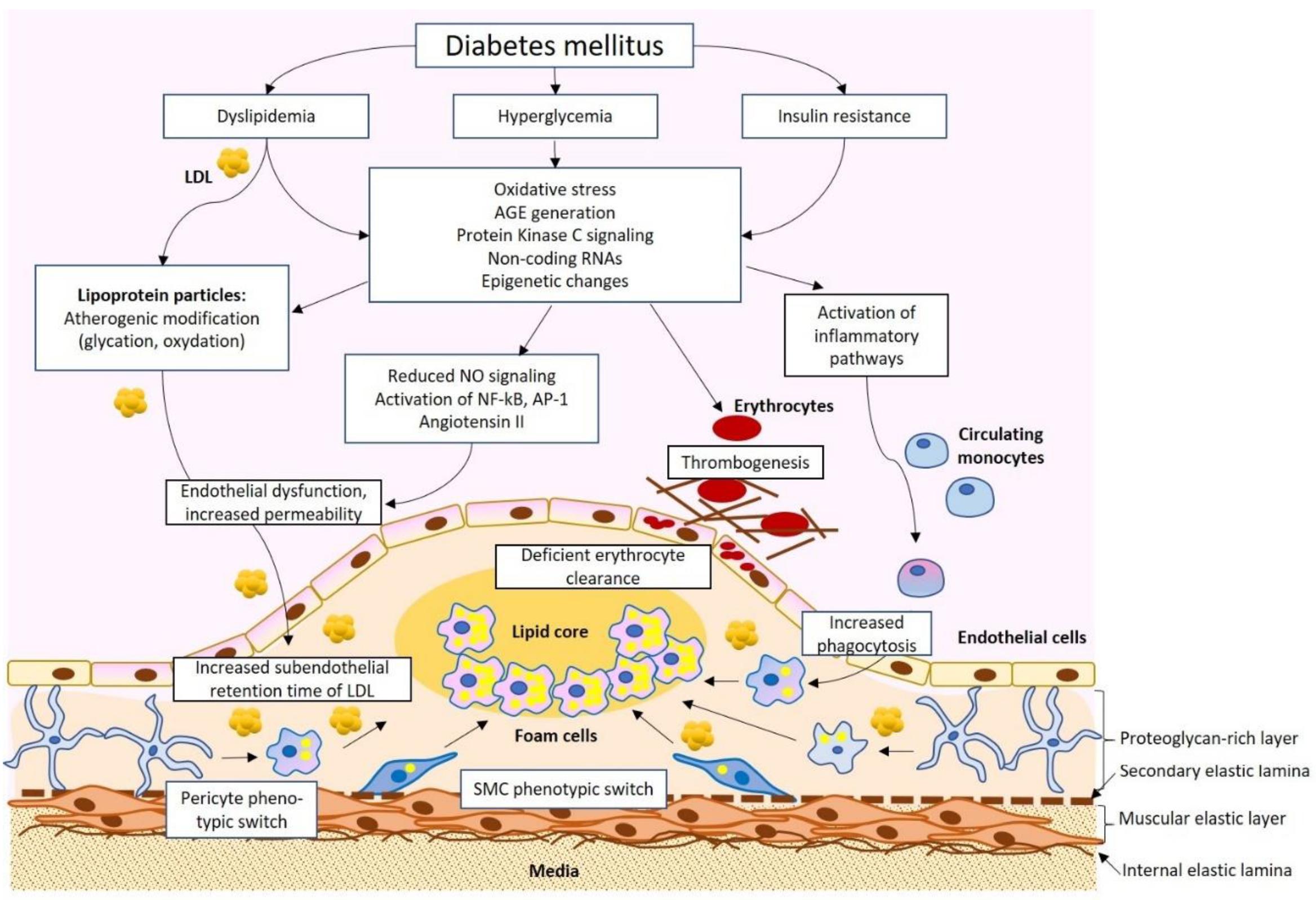 Ijms Free Full Text The Diabetes Mellitus Atherosclerosis