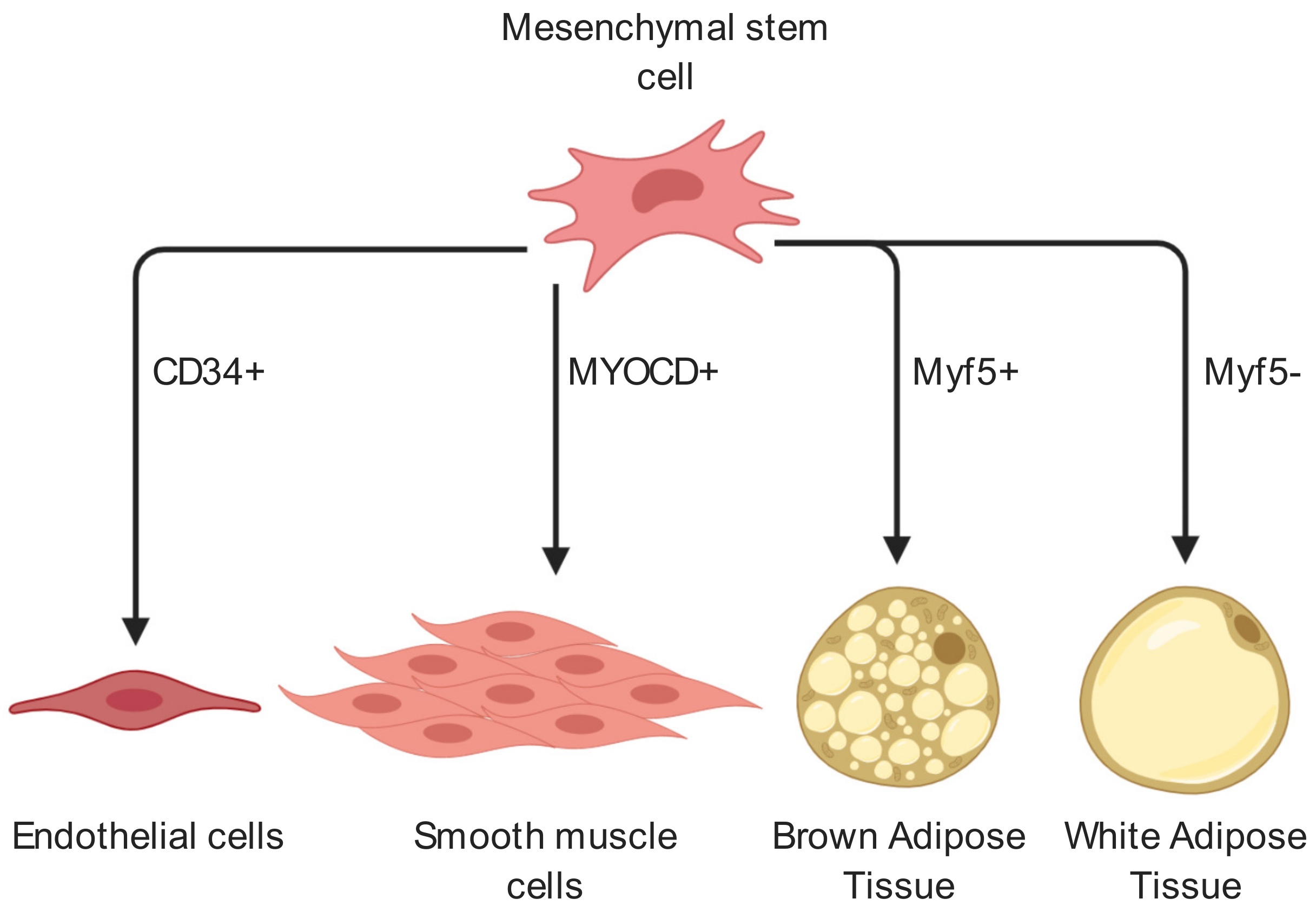 Ijms Free Full Text The Proliferation And Differentiation Of Adipose Derived Stem Cells In Neovascularization And Angiogenesis Html