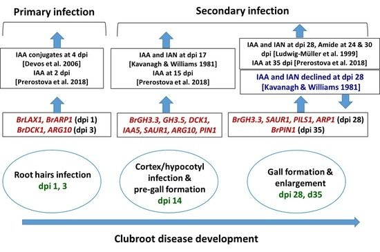 Ijms Free Full Text Expression And Role Of Biosynthetic Transporter Receptor And Responsive Genes For Auxin Signaling During Clubroot Disease Development Html