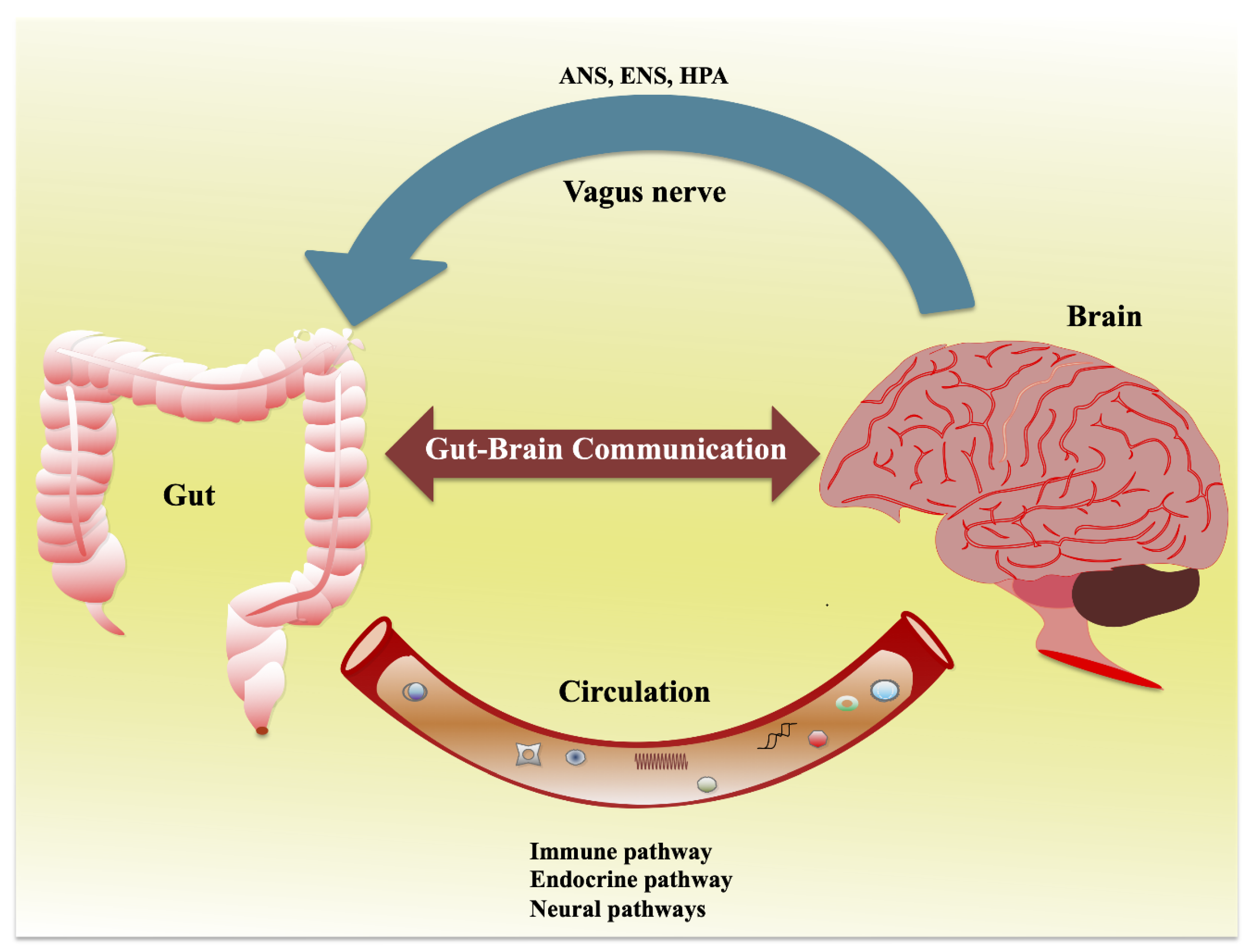 IJMS   Free Full-Text   Gut–Brain Axis: Role of Gut Microbiota on  Neurological Disorders and How Probiotics/Prebiotics Beneficially Modulate  Microbial and Immune Pathways to Improve Brain Functions