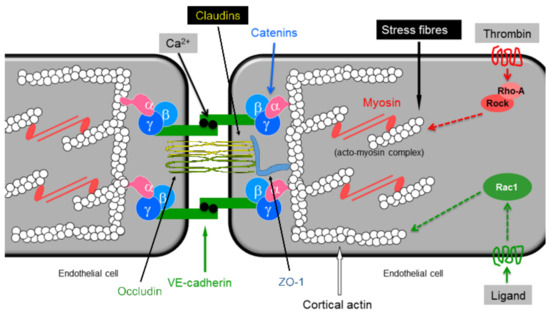 Endothelial Barrier Function
