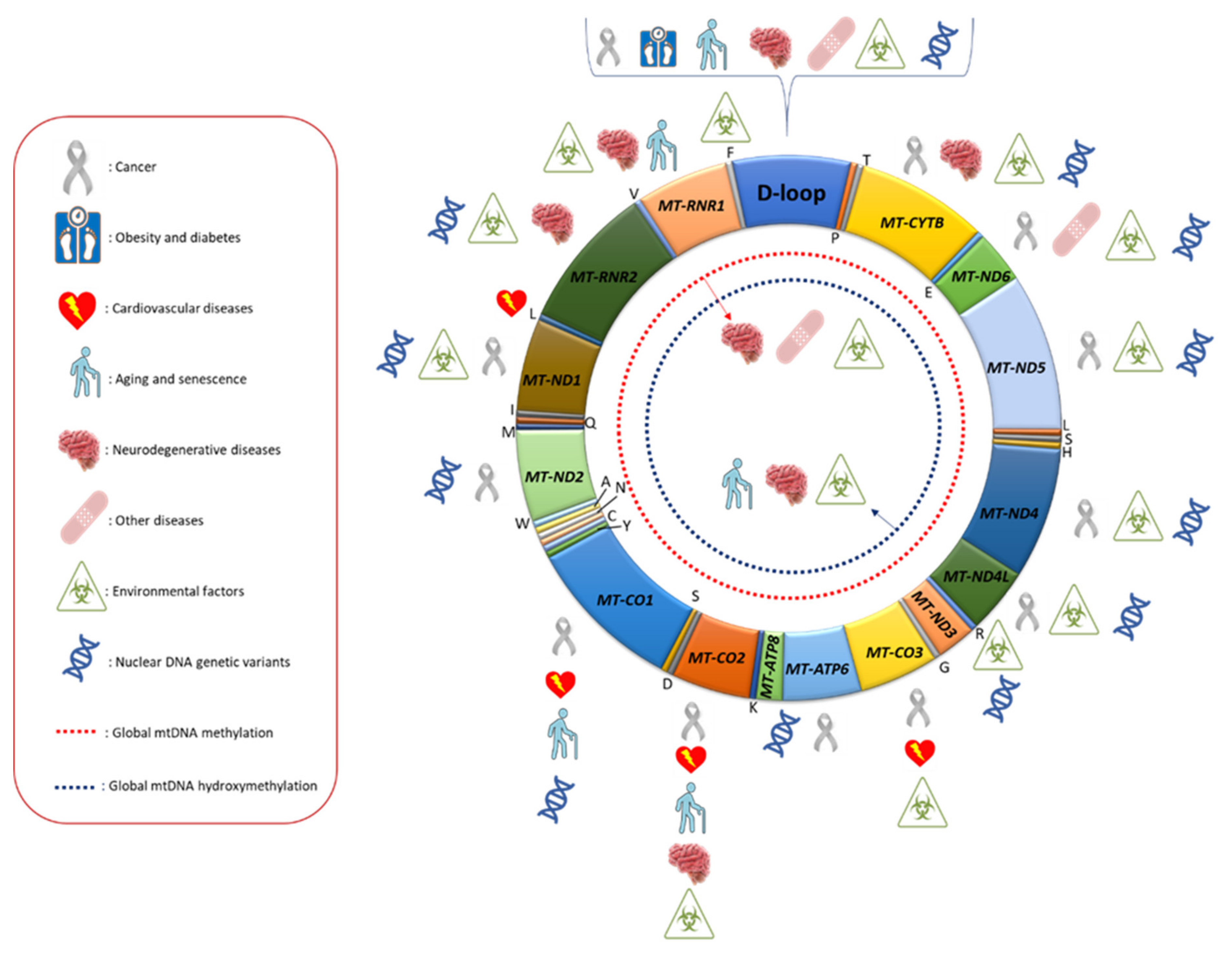 Ijms Free Full Text Mitochondrial Dna Methylation And Human Diseases Html