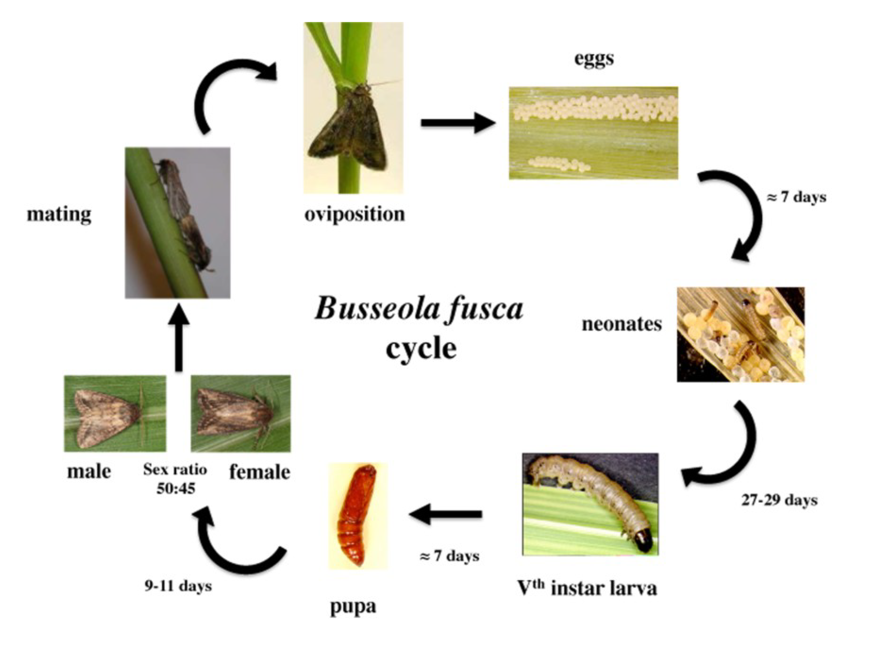 life cycle of spodoptera litura Life cycle armyworm includes several species including the beet armyworm (spodoptera exigua),  in asia, s litura in the mediterranean area,.