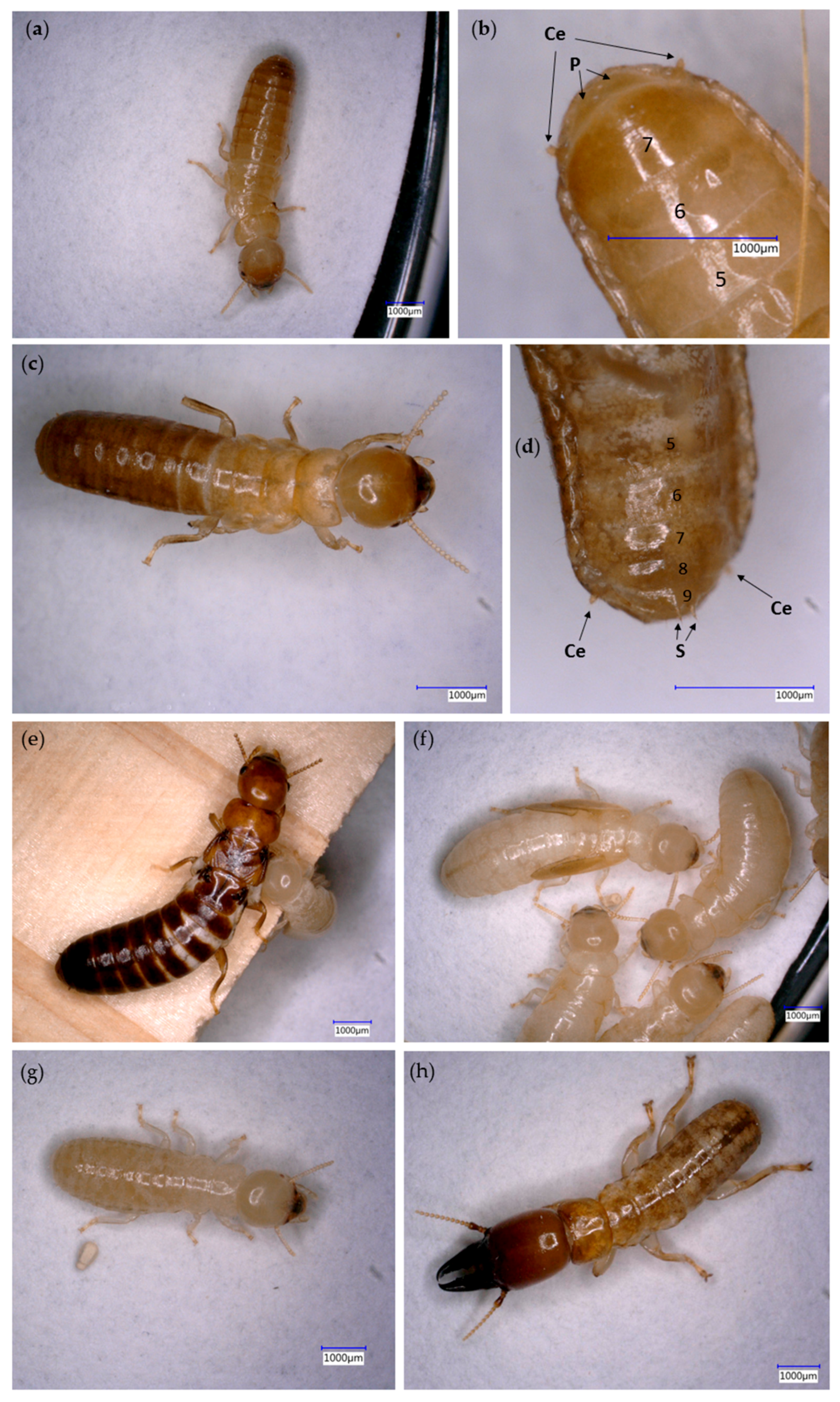 Insects | Free Full-Text | Nest-Gallery Development and Caste ...