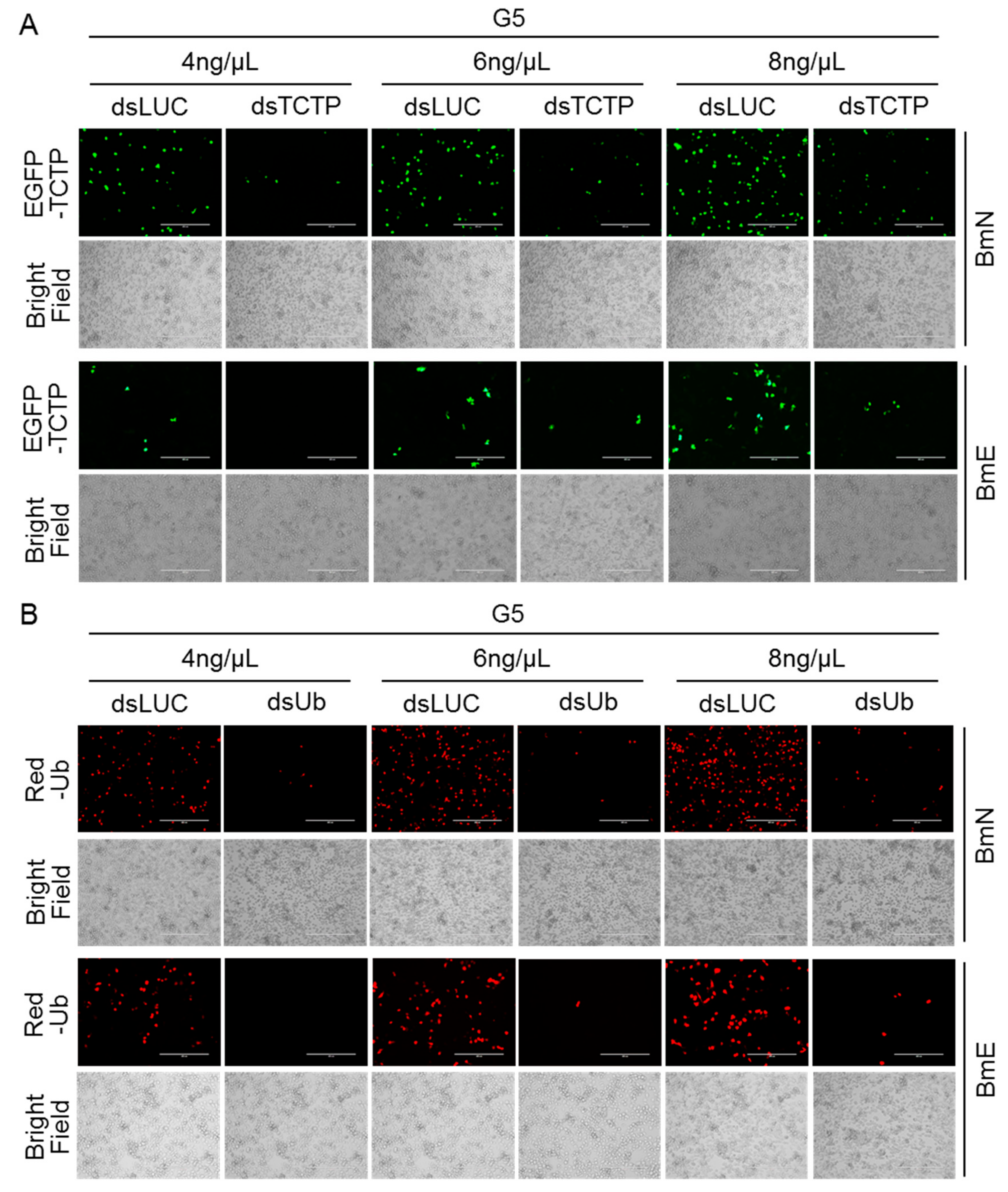 Efficient Delivery Of DsRNA And