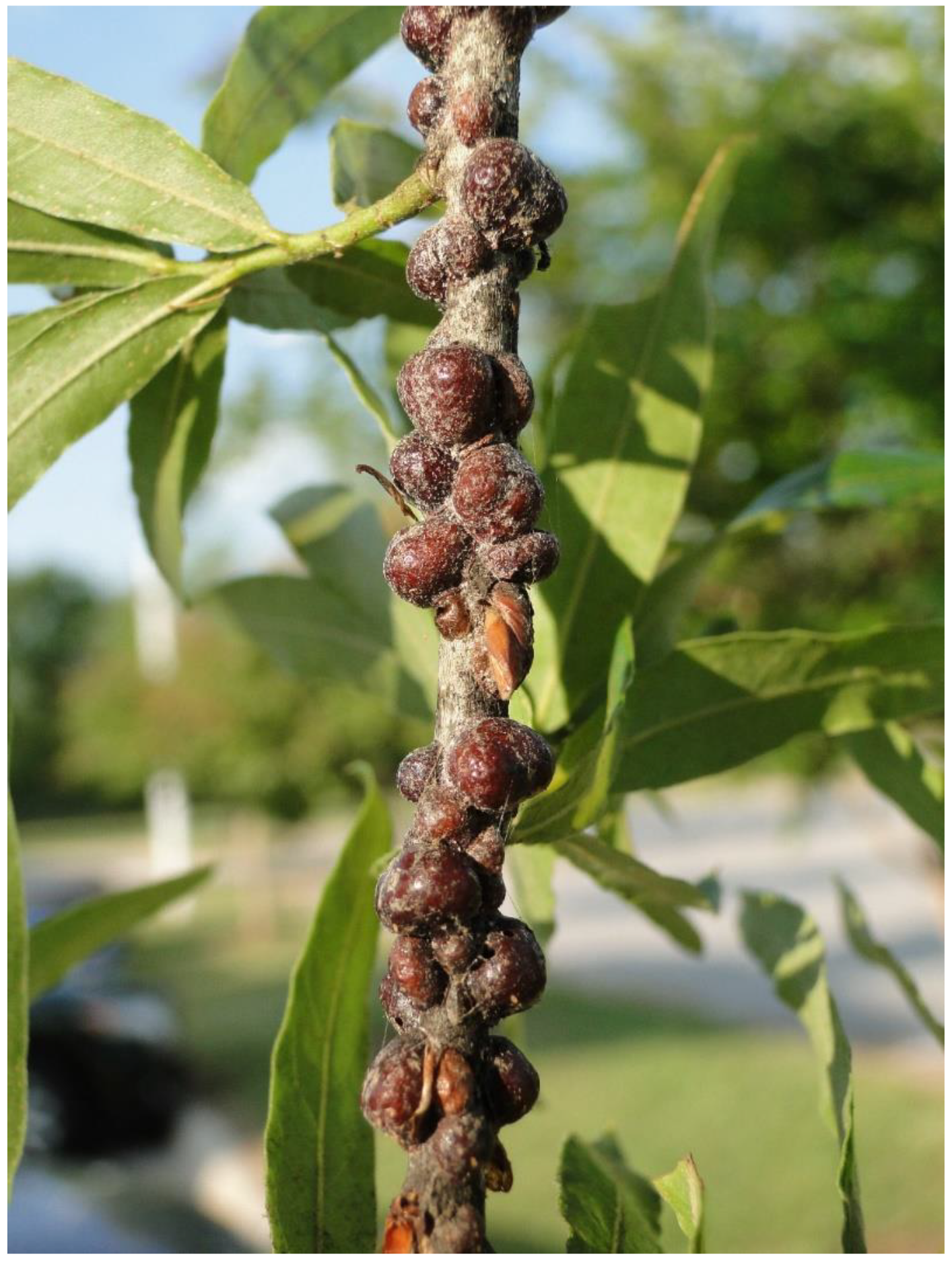 Insects Free Full Text Can Cities Activate Sleeper Species And Predict Future Forest Pests A Case Study Of Scale Insects Html