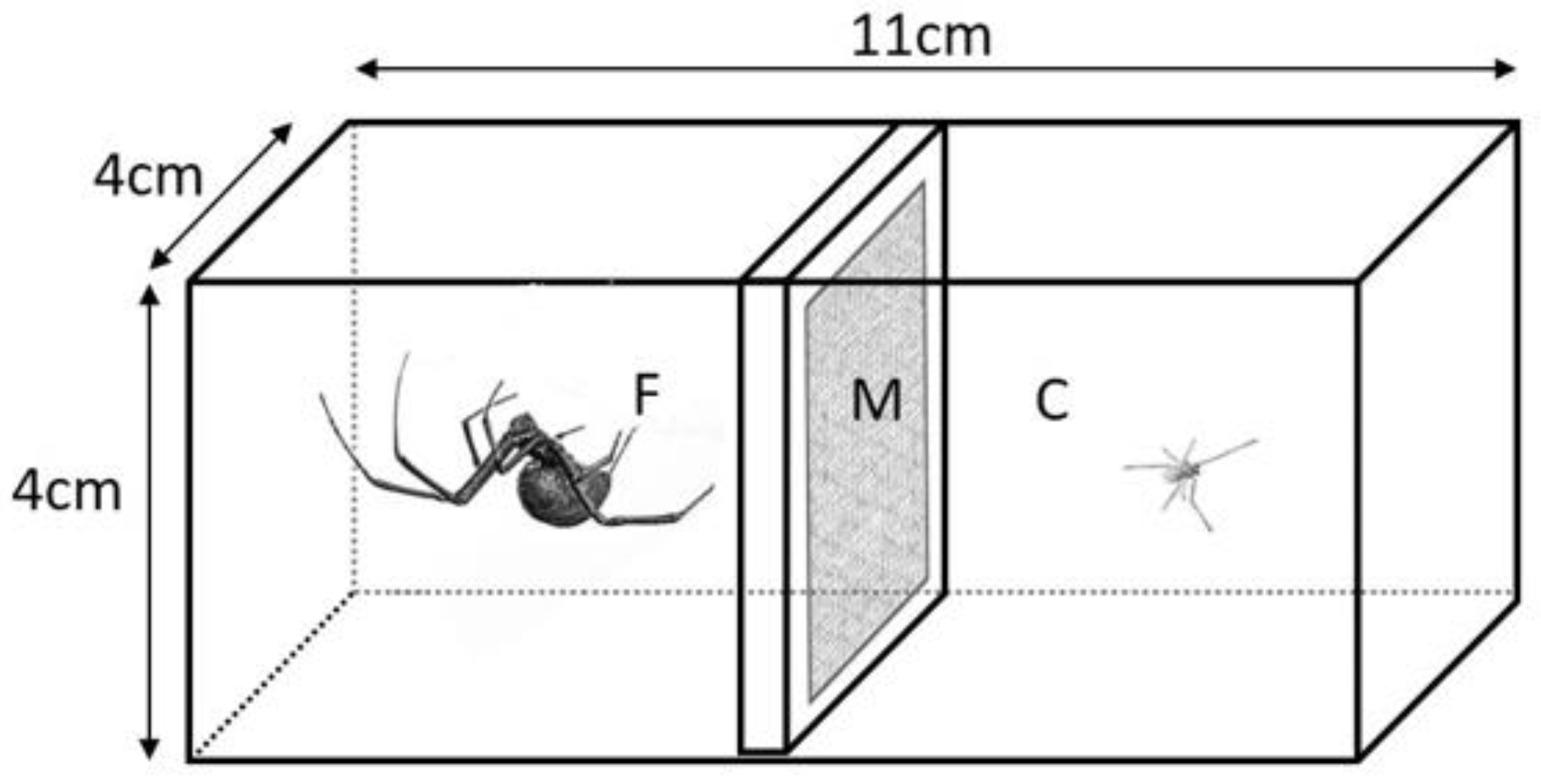 Representation of a rectangular plastic cage, bisected at its long axis, with a female spider on one side and a male spider on the other side.