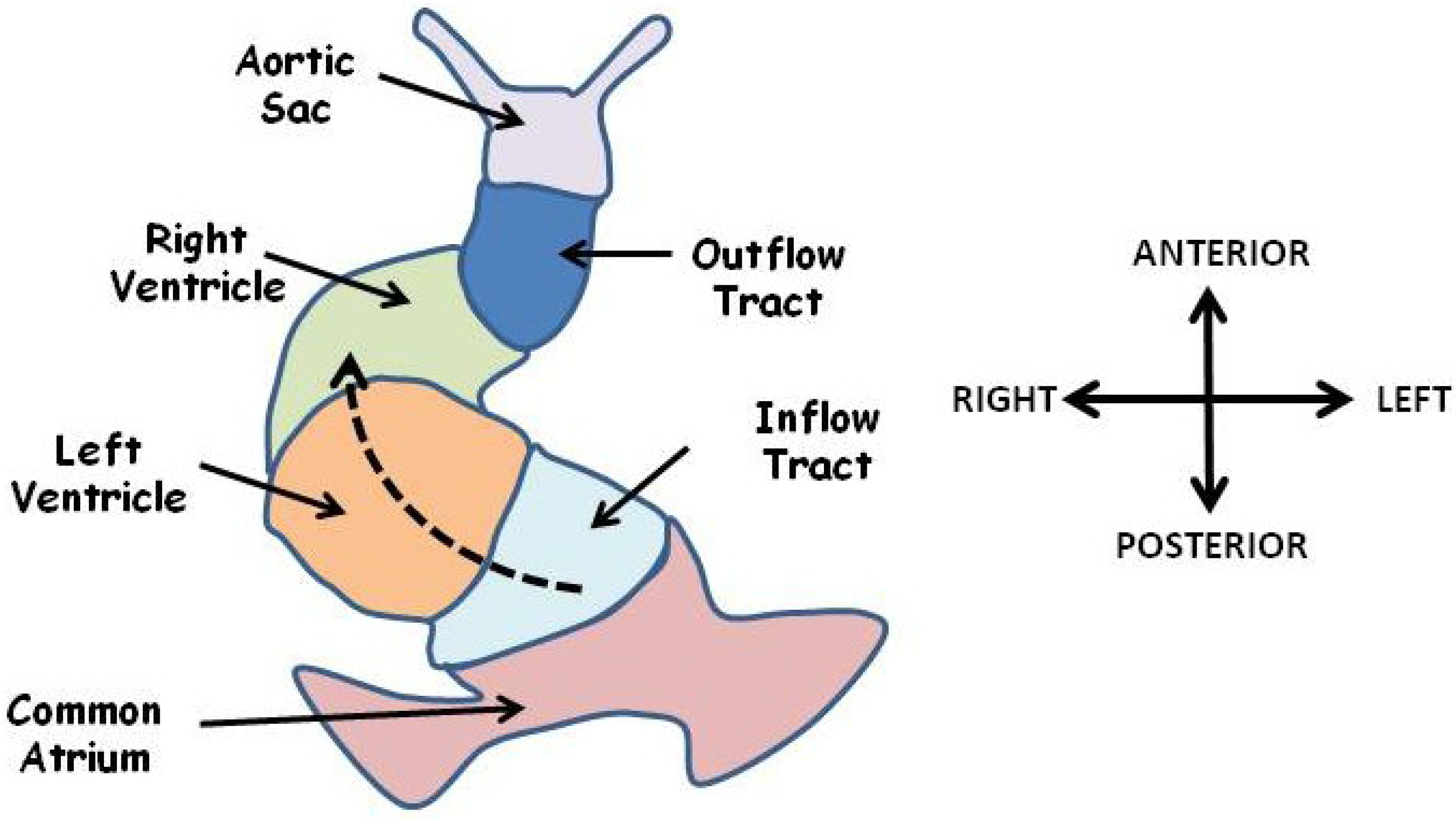 structures functions and evolution of human heart