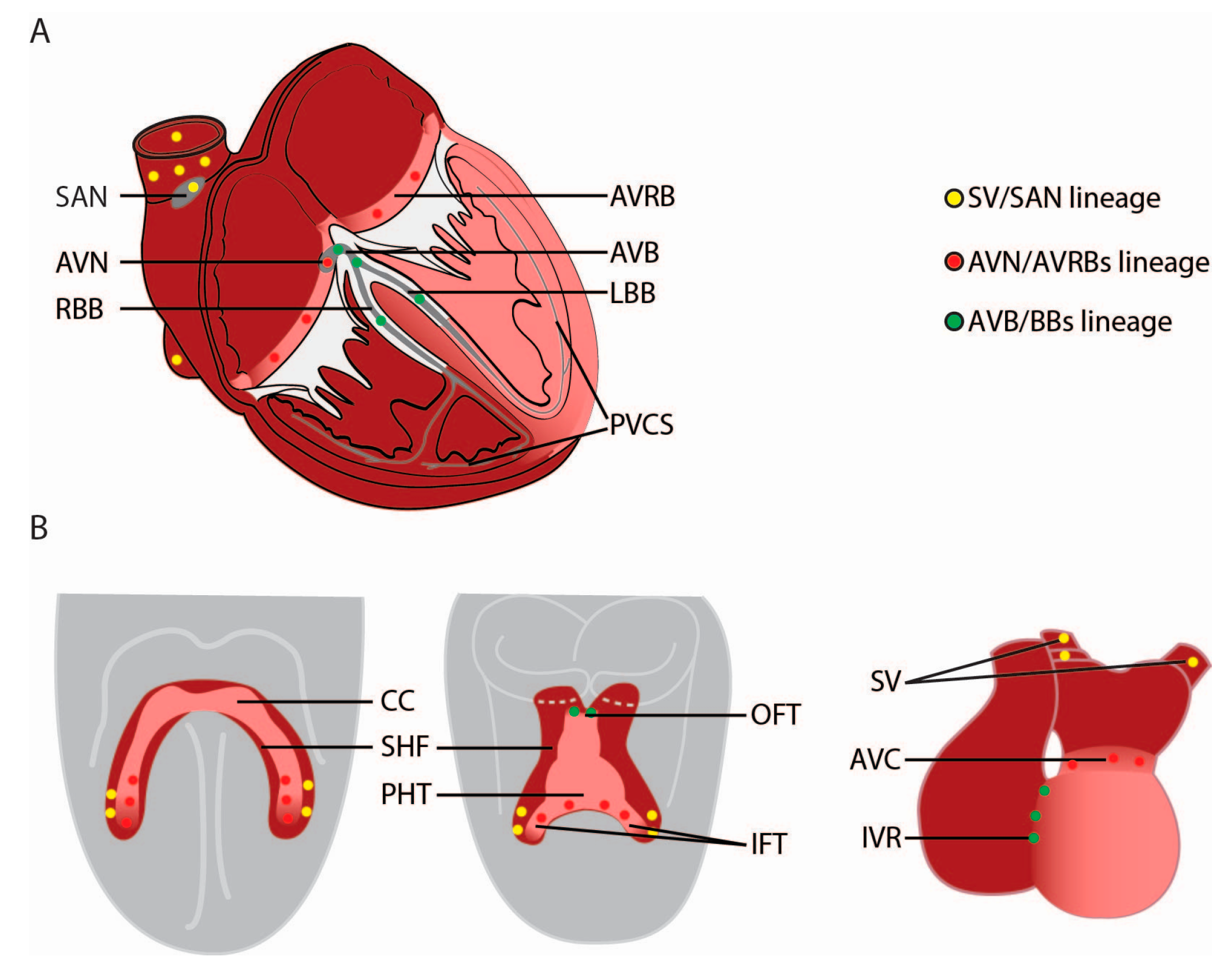 Jcdd Free Full Text Lineages Of The Cardiac Conduction System