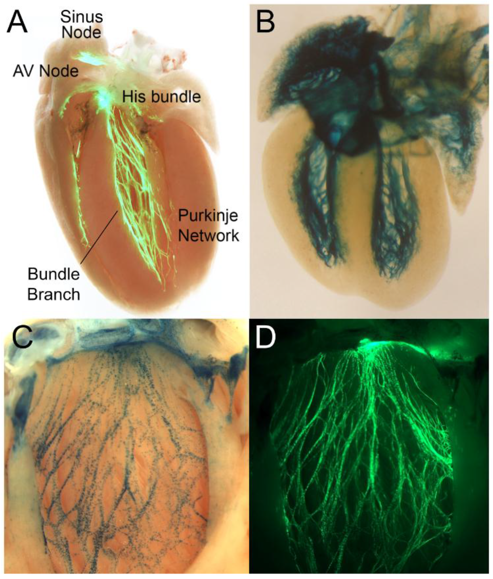 Jcdd Free Full Text Development And Function Of The Cardiac