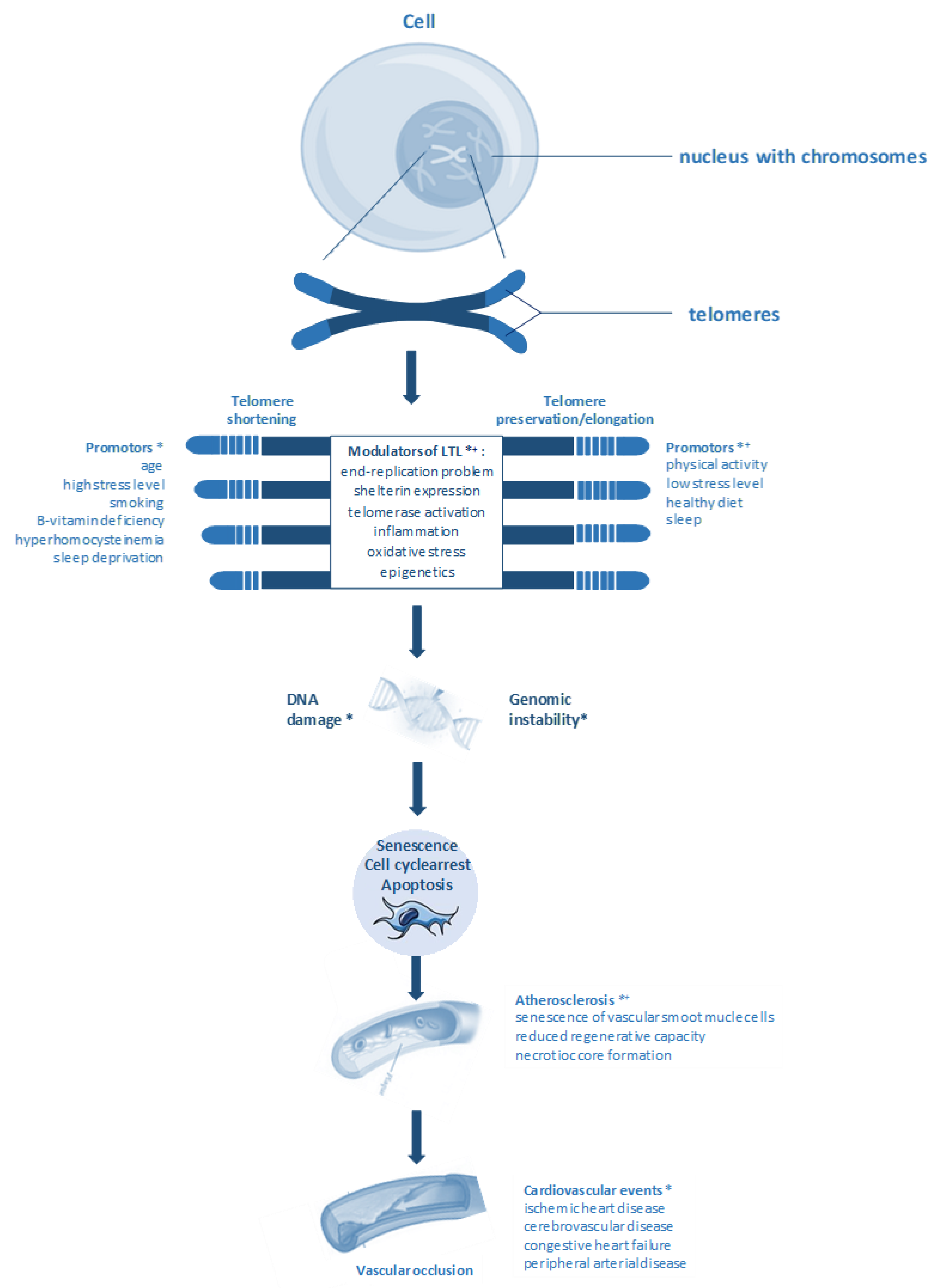 Jcdd Free Full Text The Importance Of Telomere Shortening For Atherosclerosis And Mortality Html