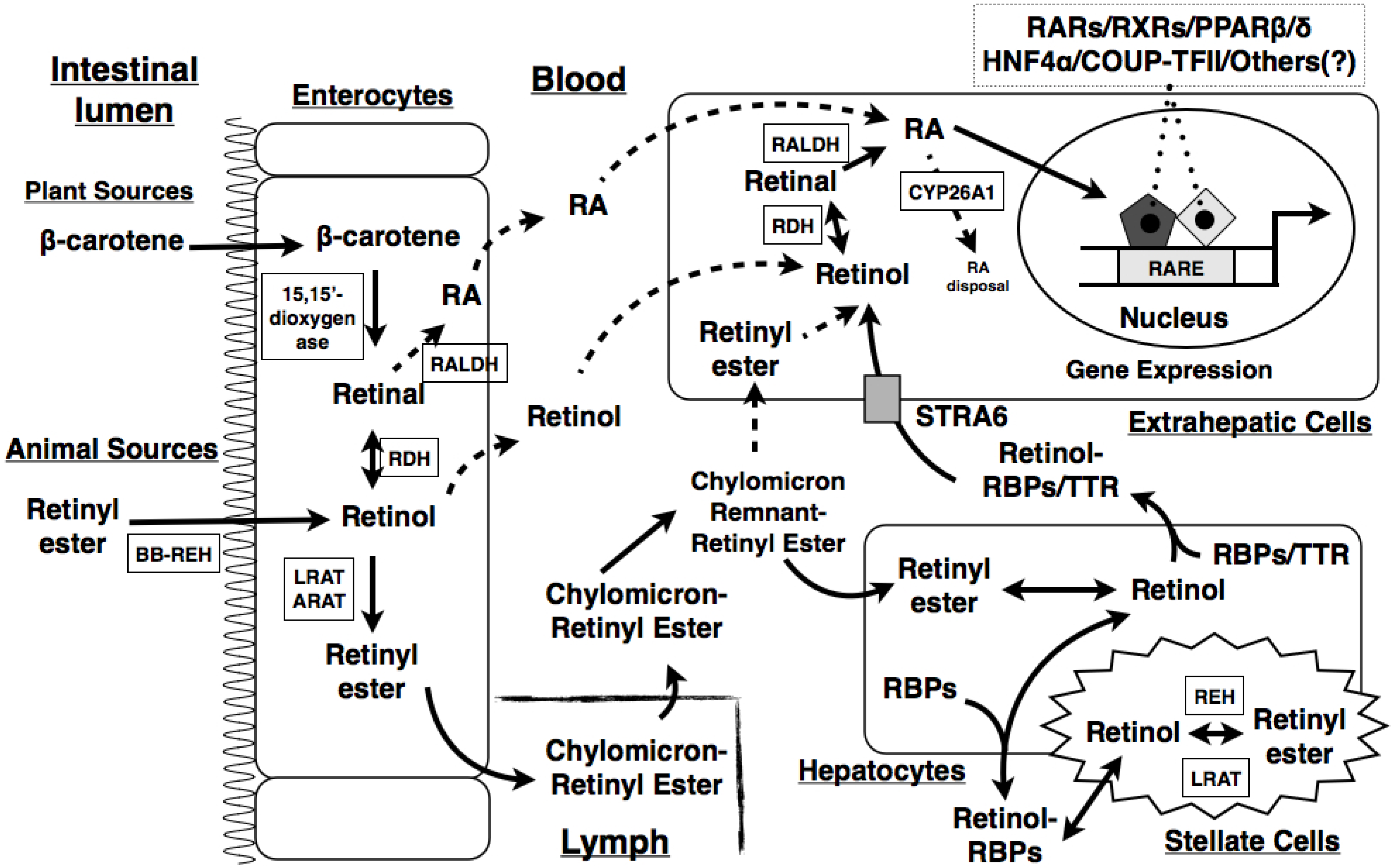 Jcm Free Full Text The Roles Of Vitamin A In The Regulation Of
