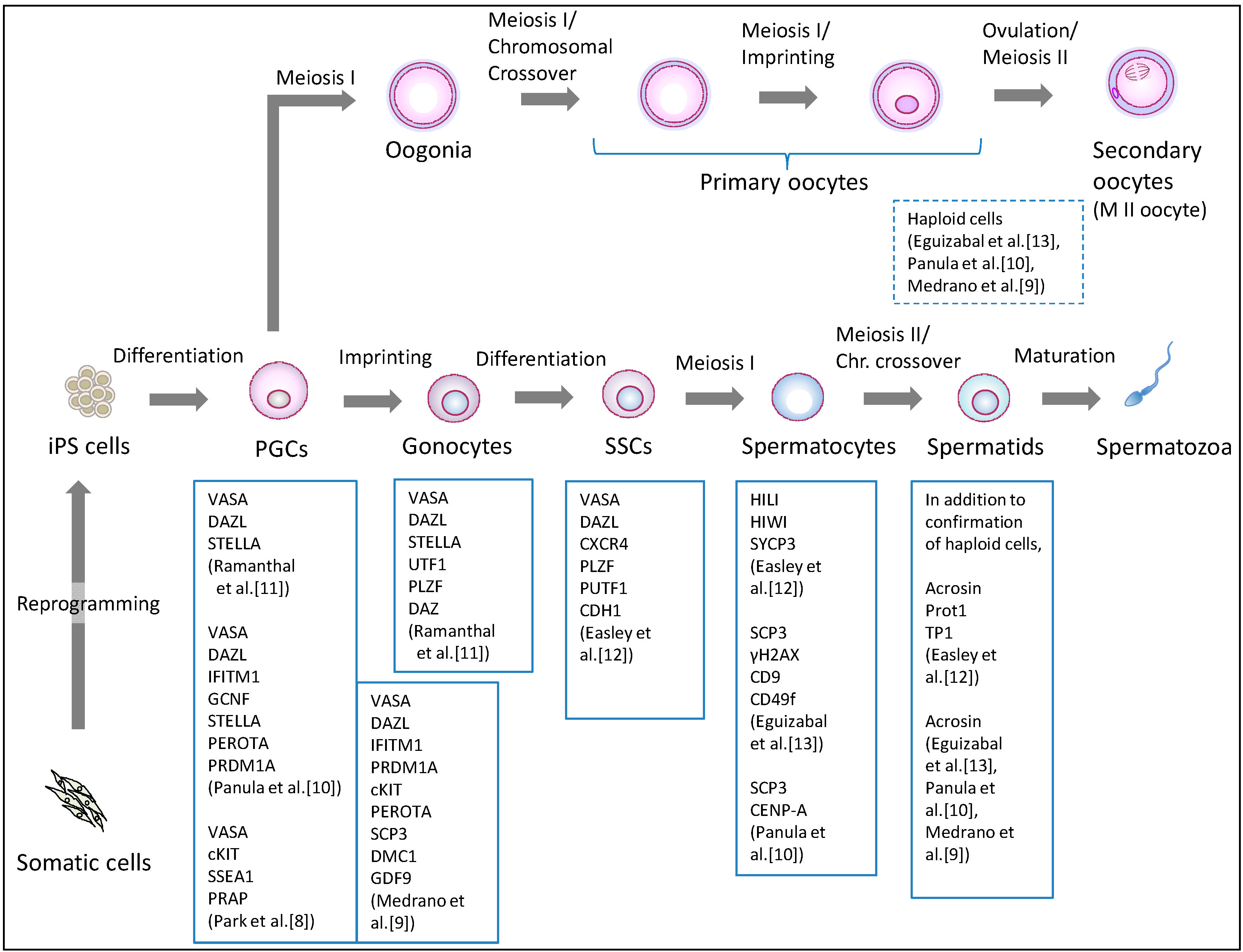 jcm | free full-text | human ips cell-derived germ cells: current